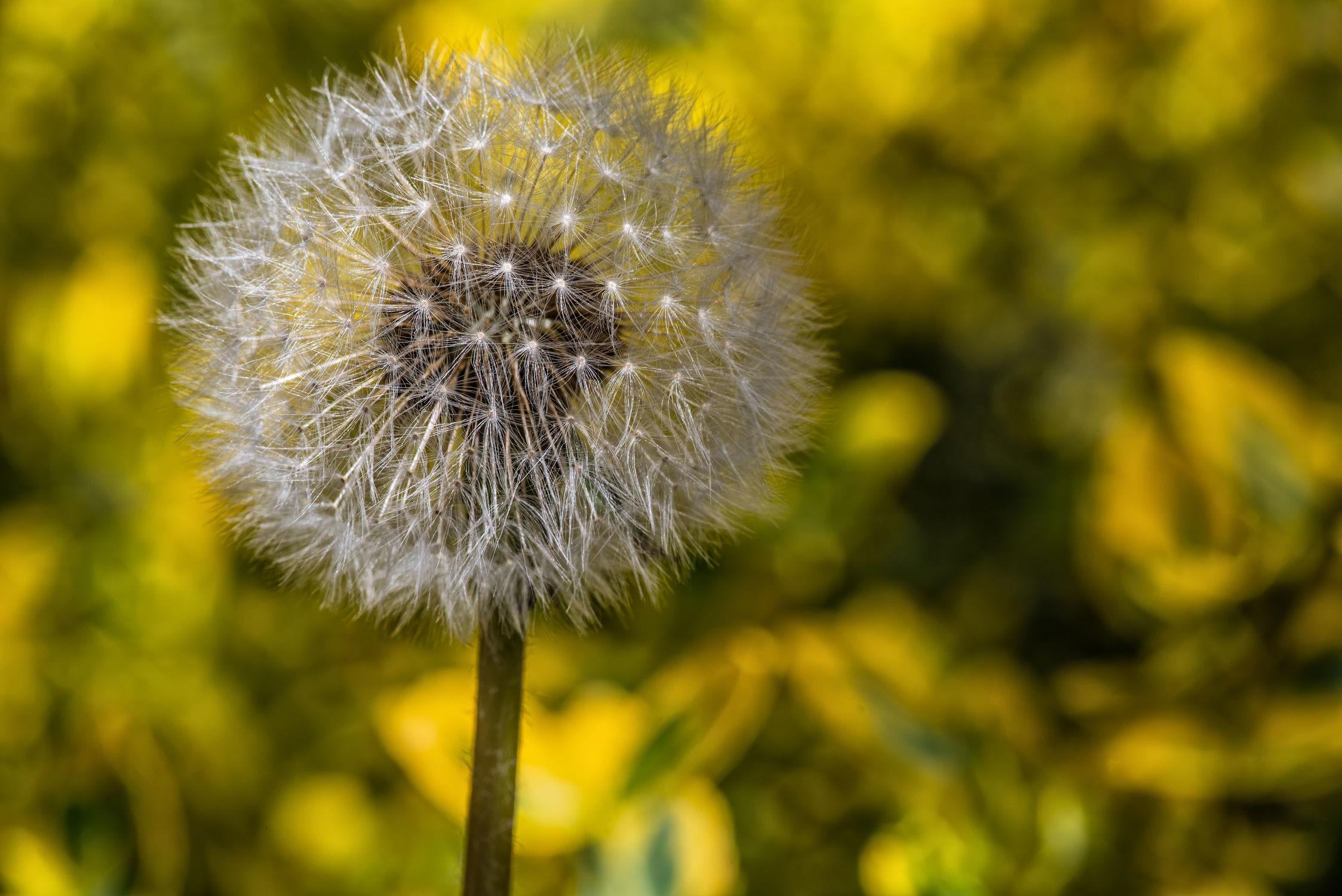 Bild mit Sommer, Sonne, Blume, Pflanze, Makro, Licht, Löwenzahn, Pusteblume, garten, nahaufnahme, Schatten, Butterblume, Fruehling