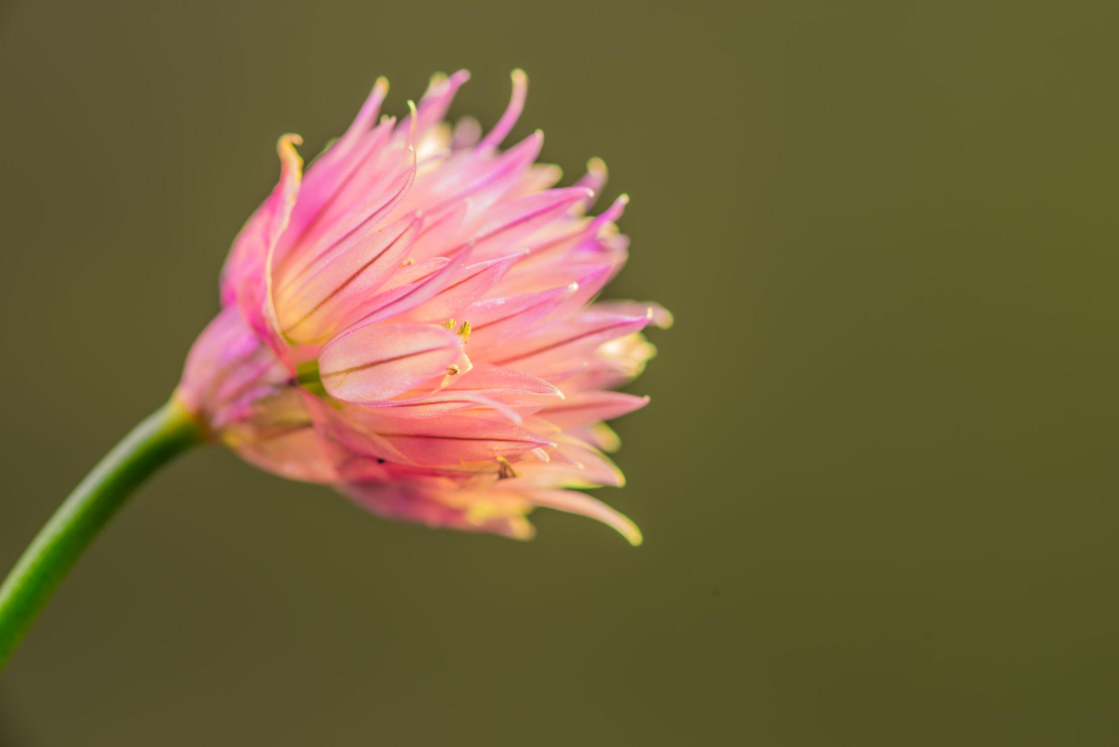Bild mit Natur, Pflanzen, Essen, Blumen, Nahrungsmittel, Makro, Küchenbild, Licht, garten, blüte, nahaufnahme, Schnittlauch, Schatten, Gewürze