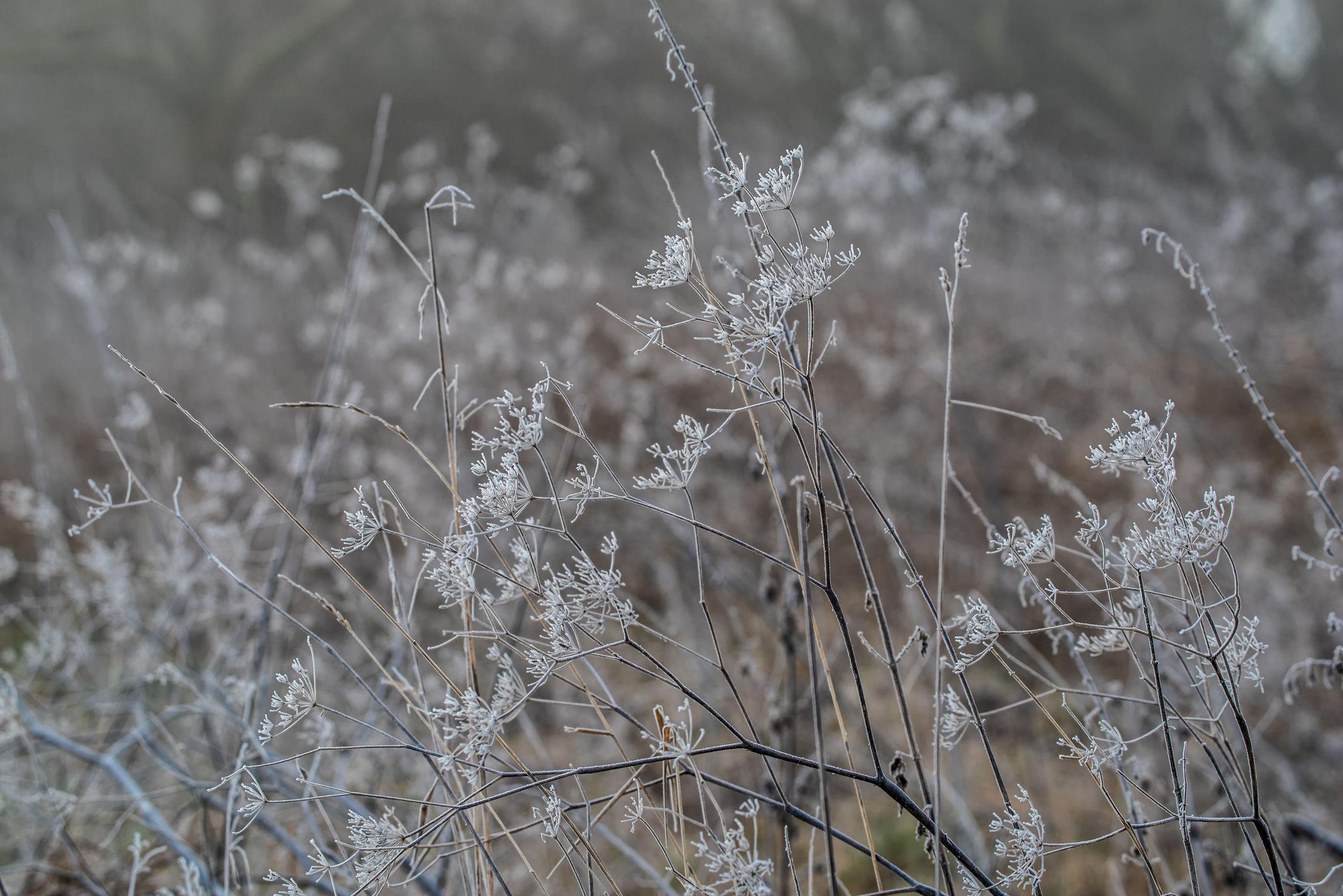 Bild mit Natur, Pflanzen, Gräser, Landschaften, Jahreszeiten, Winter, Deutschland, Gegenlicht, nahaufnahme, Frost, Raureif, Freigestellt, Morgens, Bayern, Januar
