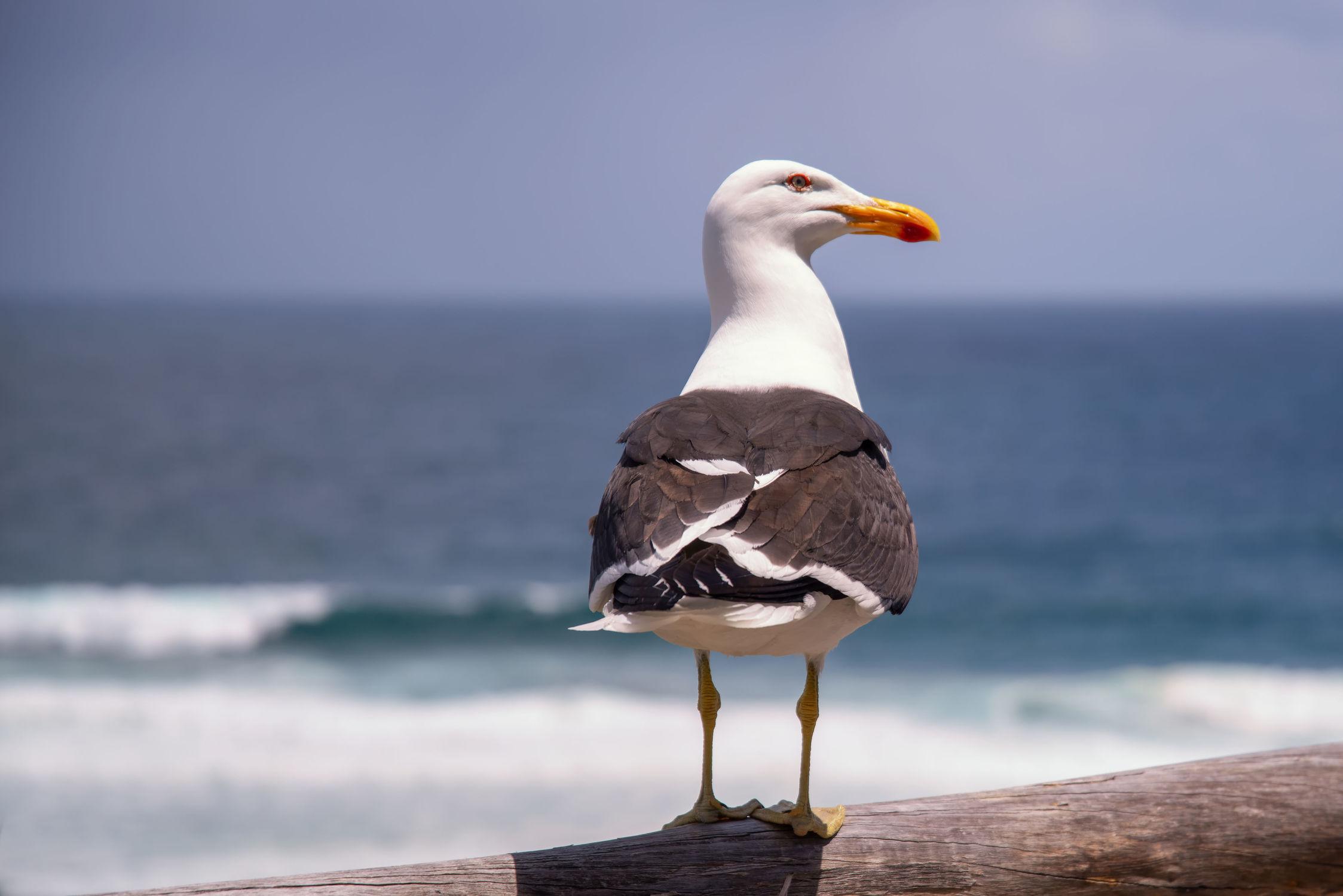 Bild mit Tiere, Natur, Vögel, Wasservögel, Raubvögel, Federn, Strand, Möwe, Küste, Auge, Blick, Schnabel, Gefieder, Jagd, Beute, neugierig