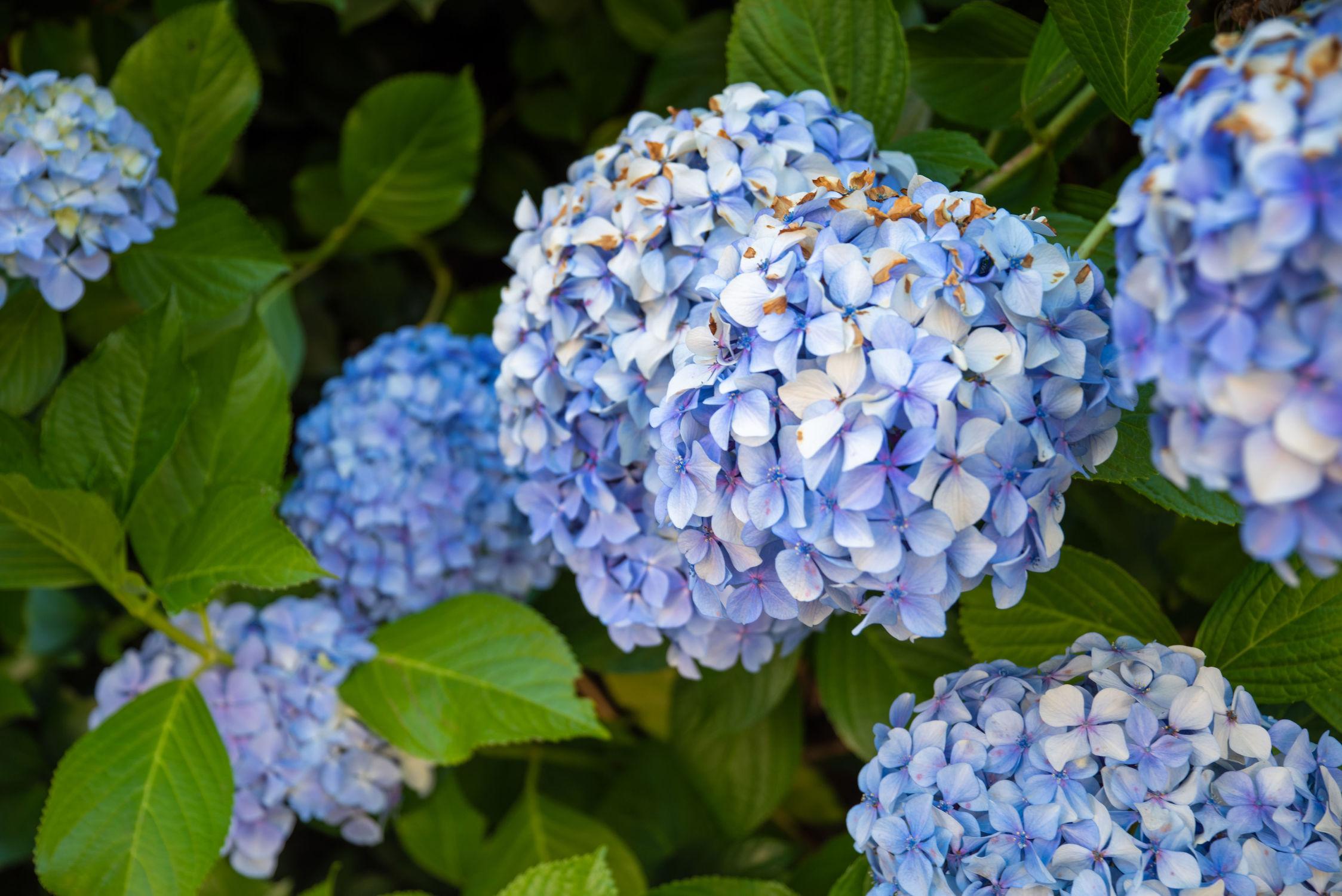 Bild mit Natur, Jahreszeiten, Blumen, Blau, Sommer, Pflanze, garten, Hortensie, zierpflanzen