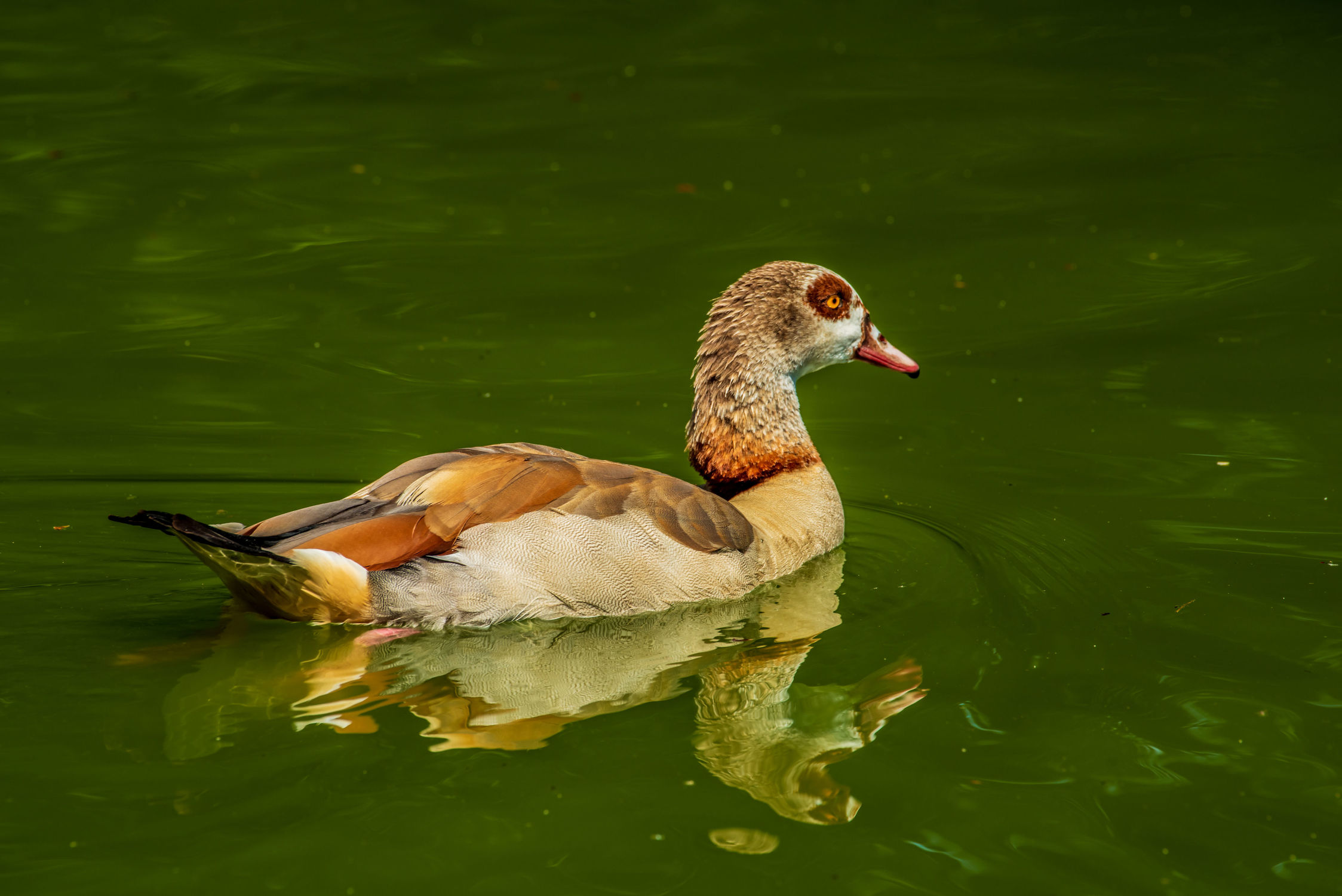 Bild mit Natur, Wasser, Wasservögel, Tier, Ente, Licht, See, Bunt, Teich, Spiegelungen, farbig, Schwimmen, Schatten, Reflexionen