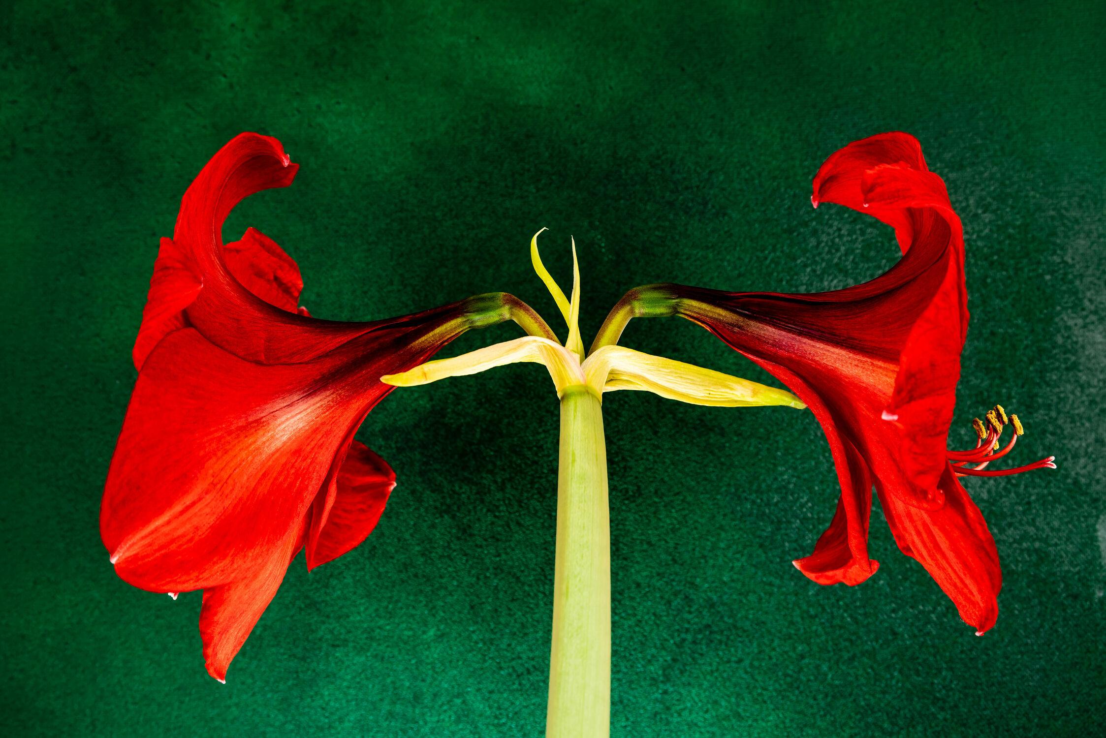 Bild mit Natur, Grün, Pflanzen, Jahreszeiten, Rot, Blume, Makro, Licht, garten, blüte, nahaufnahme, Schatten, Stengel, Amaryllis, Stiel