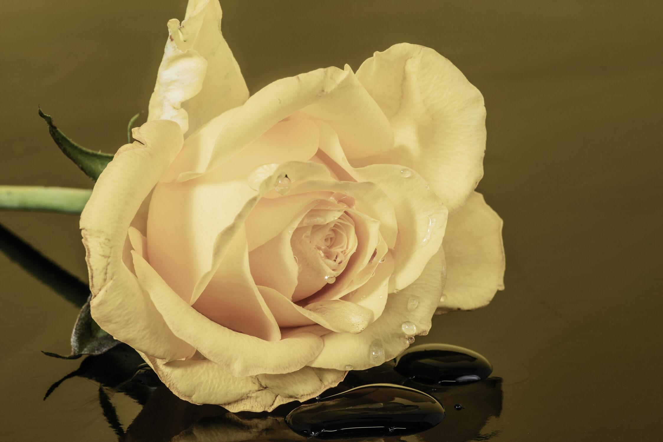 Bild mit Natur, Blätter, Blume, Pflanze, Rose, Makro, Makro Rose, Tropfen, Spiegelungen, Blüten, Blumen im Makro, nahaufnahme, Tau, Tautropfen, verblühen, Reflexionen