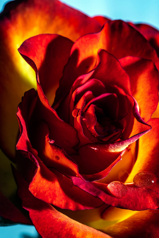 Bild mit Natur, Grün, Pflanzen, Blumen, Rot, Rosen, Blätter, Makroaufnahme, Licht, Wassertropfen, Natur pur, nahaufnahme, Tautropfen, Tauperlen, Kunstvoll, Licht Schatten