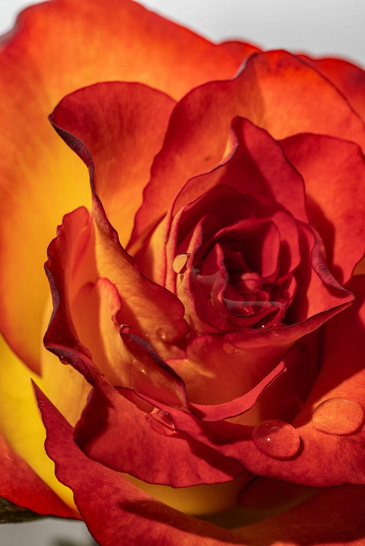 Bild mit Natur, Reflexion, Blumen, Rot, Rosen, Blätter, Gegenlicht, Regentropfen, Blumen und Blüten, Spiegelungen, Blütenblätter, Tautropfen, Freigestellt