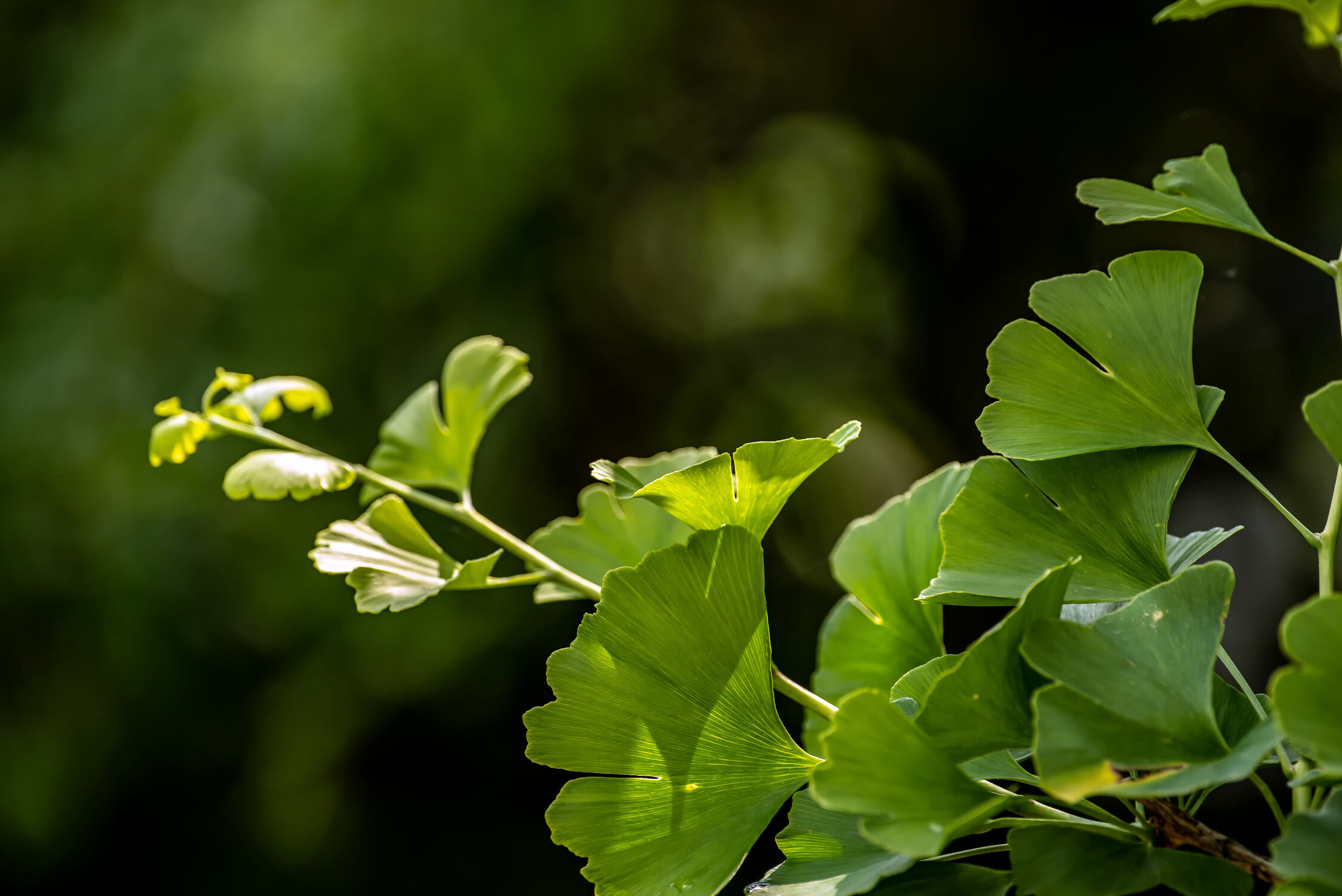 Bild mit Natur, Pflanzen, Sommer, Sonne, Baum, Blätter, Park, garten, Gewächse, Gingko
