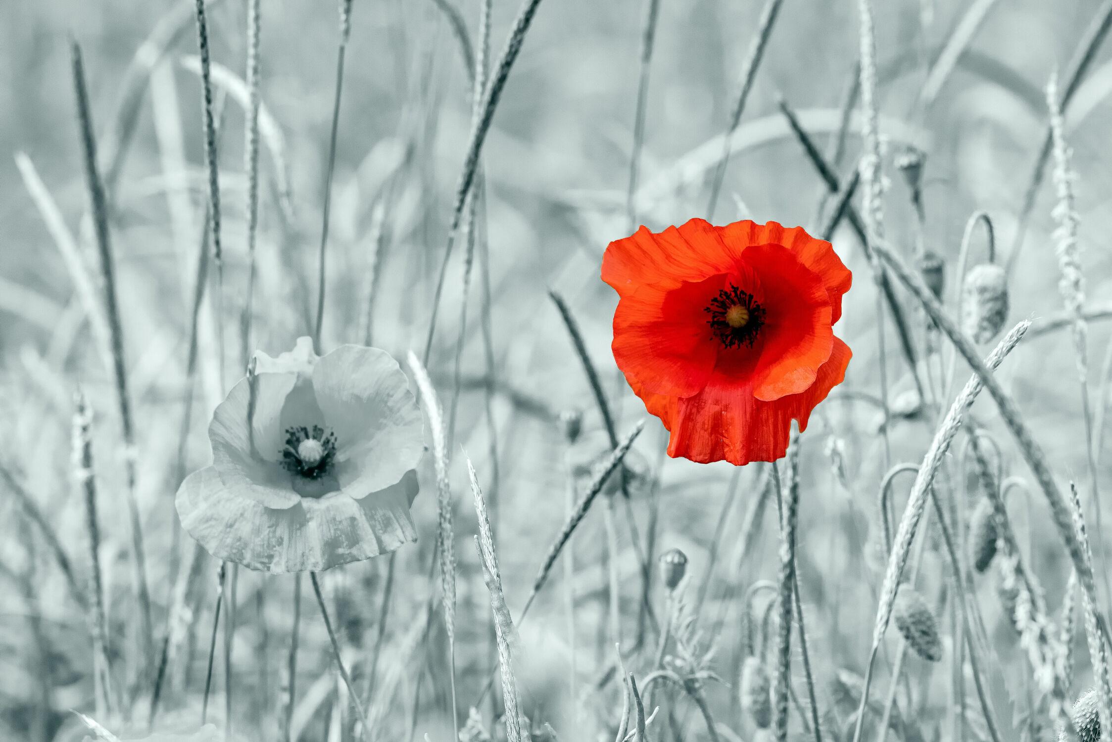 Bild mit Natur, Pflanzen, Rot, Mohn, Mohnblume, Licht, Feld, landwirtschaft, Schatten, colour key
