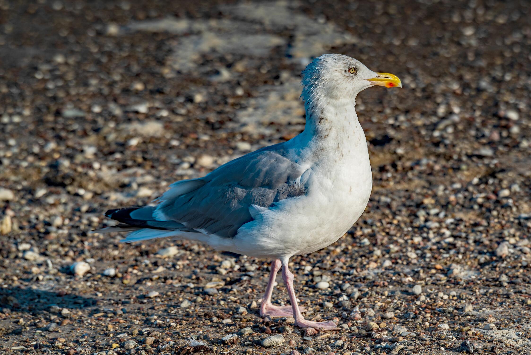 Bild mit Tiere, Vögel, Strand, Meer, Möwe, Auge, Blick, Gefieder, Meeresbewohner, Seevogel