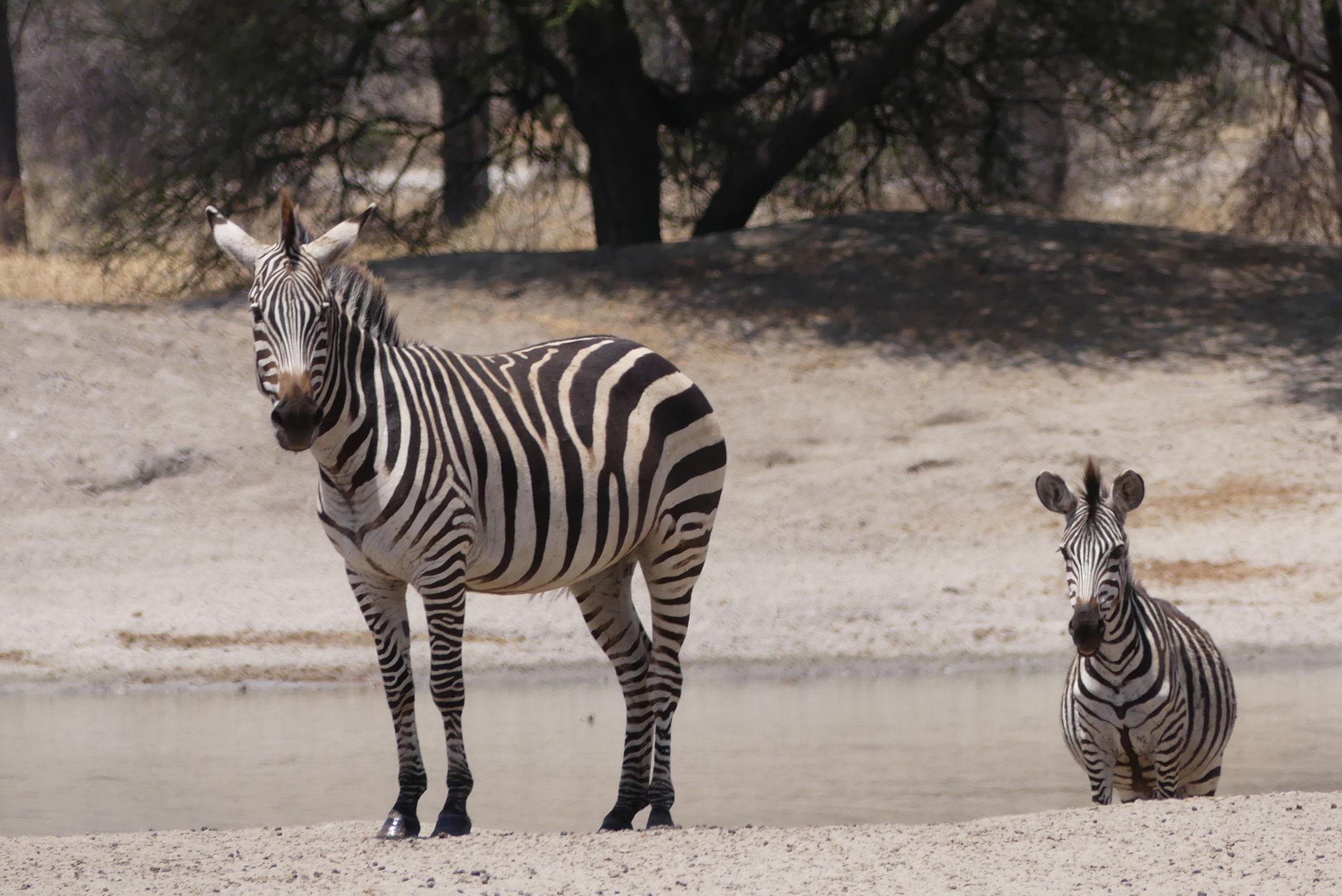 Bild mit Tiere, Säugetiere, Natur, Pferde, schwarz & weiss, Afrika, Zebras, Nationalpark, safari