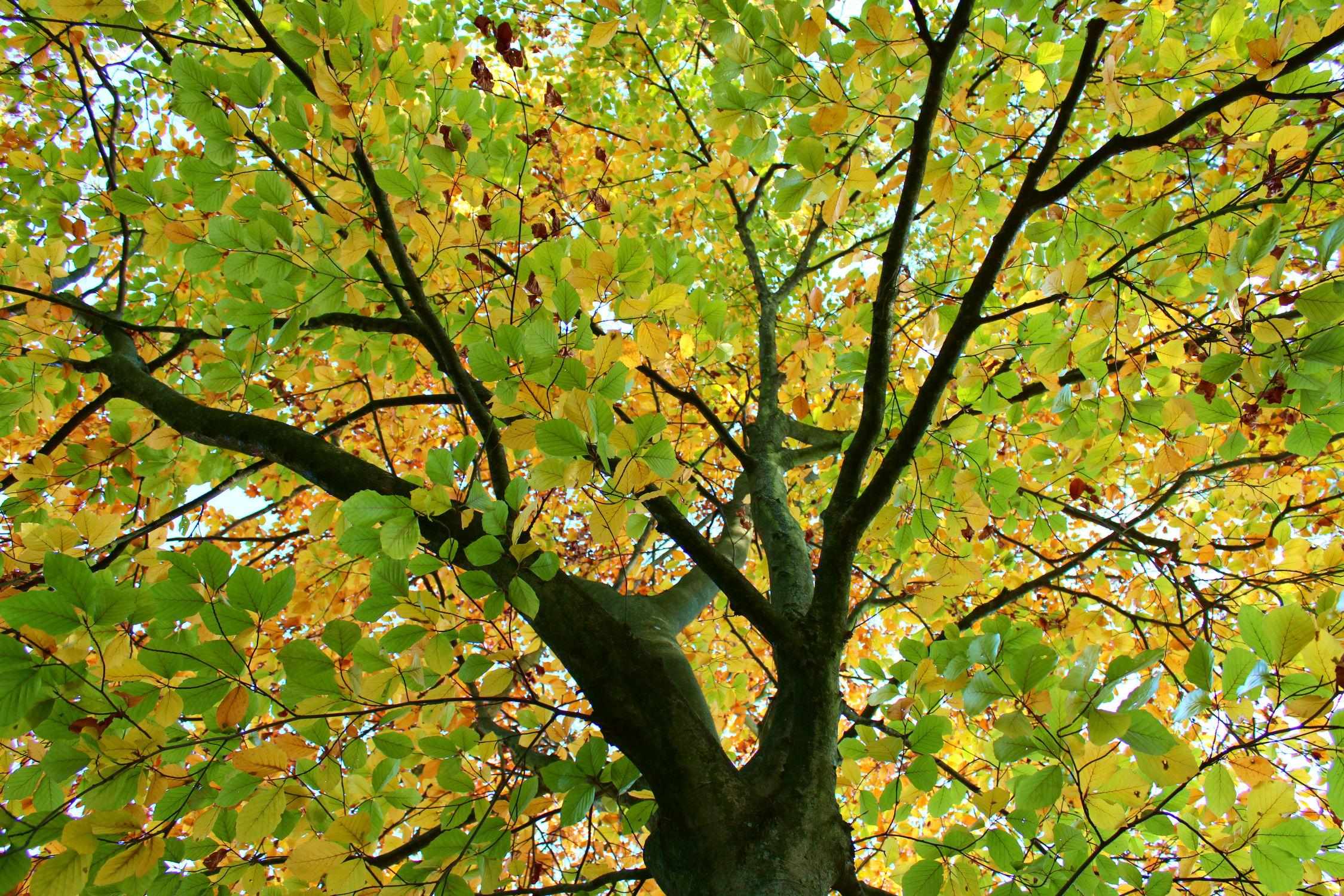 Bild mit Natur, Bäume, Herbst, Laubbäume, Bunt, Herbstblätter, Buche, Buchenwald, mein Garten