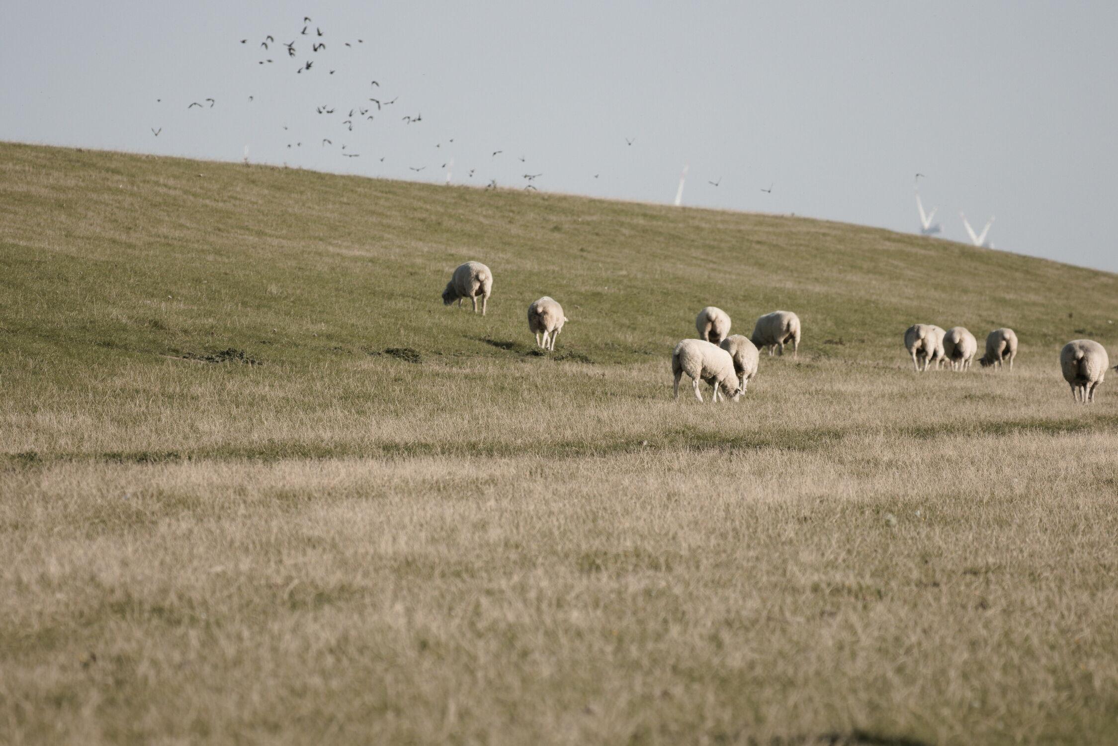 Bild mit Gräser, Dämme und Deiche, Schafe