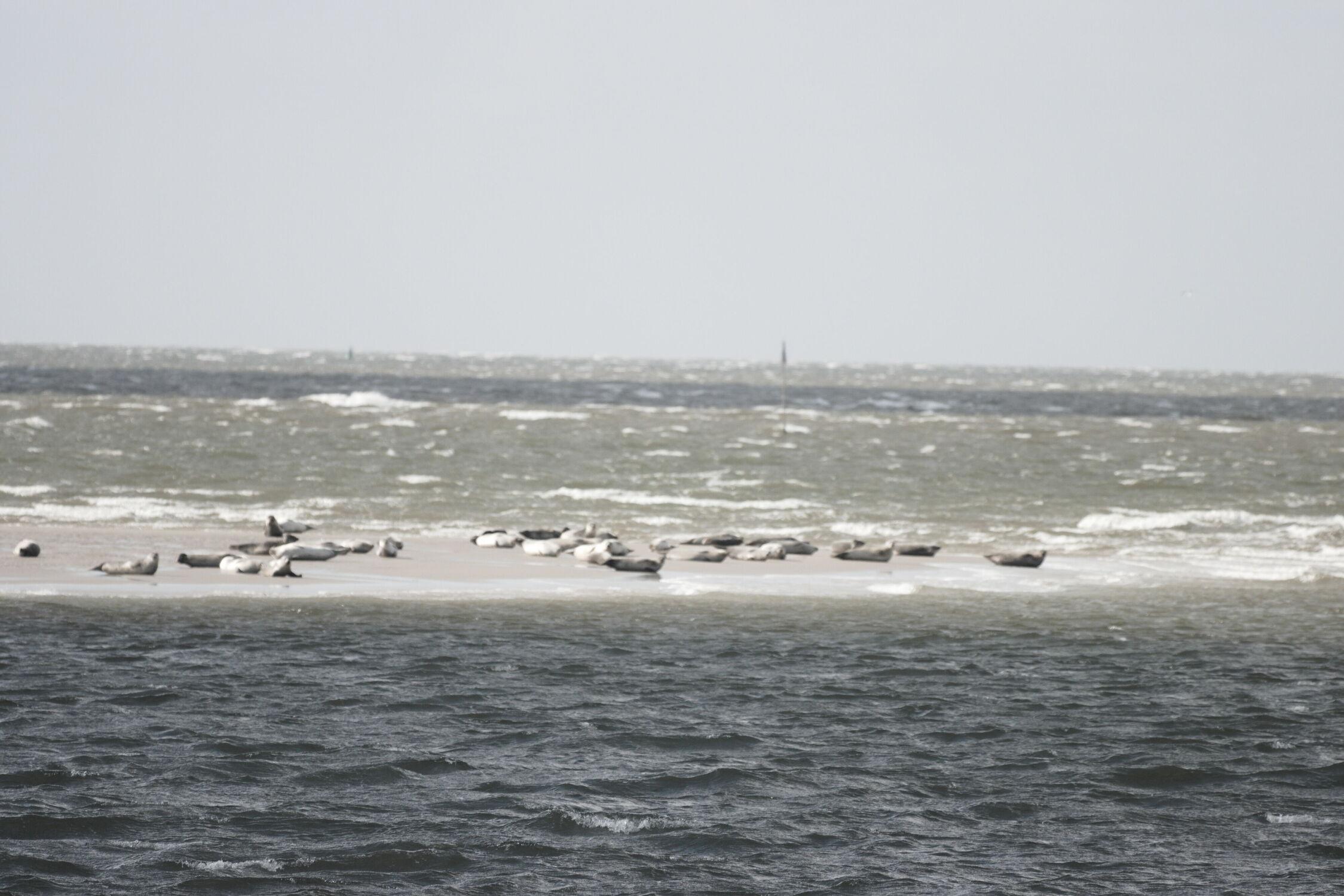 Bild mit Seehunde, Meerblick, Nordsee