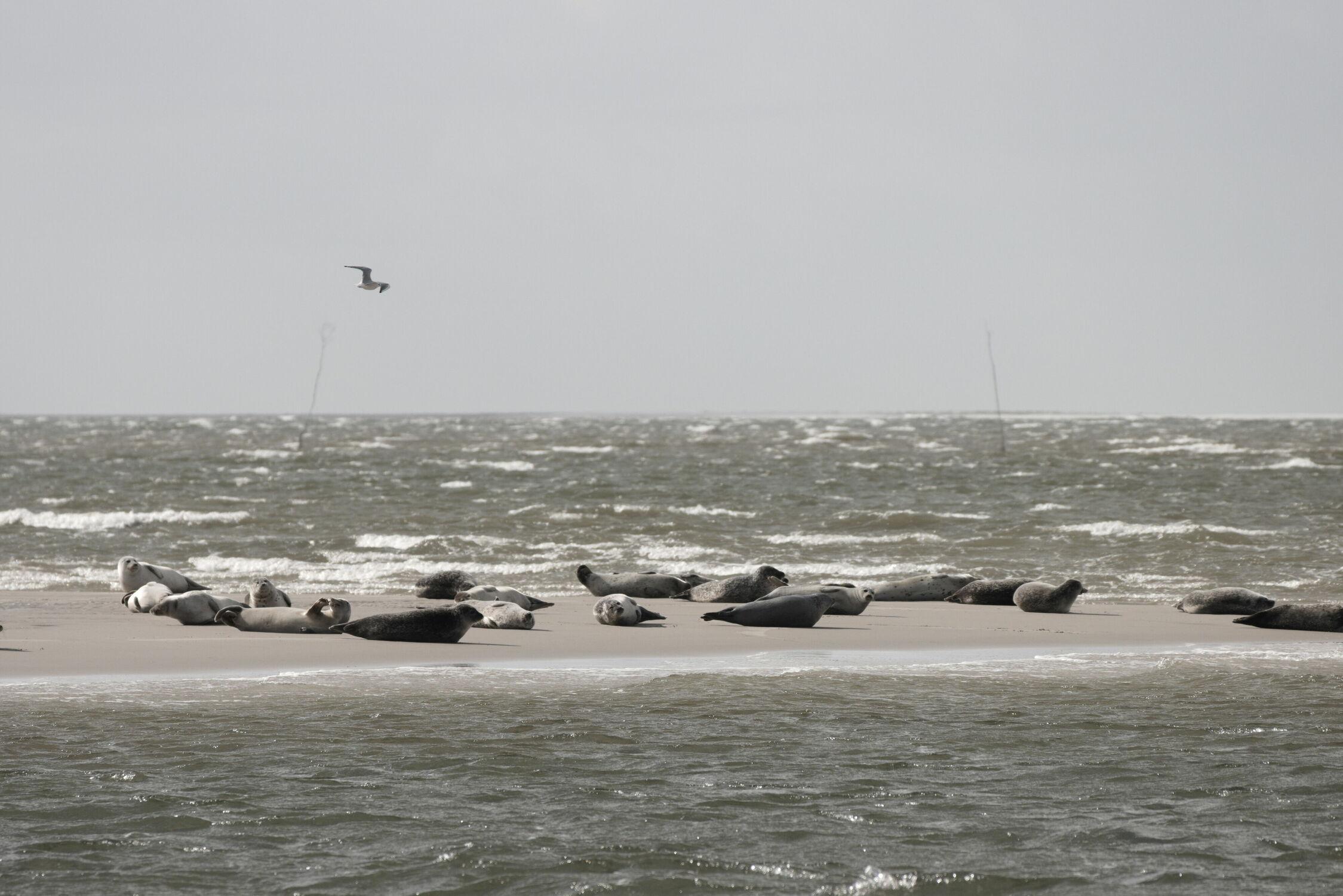 Bild mit Natur, Seehunde, Meerblick, Nordsee