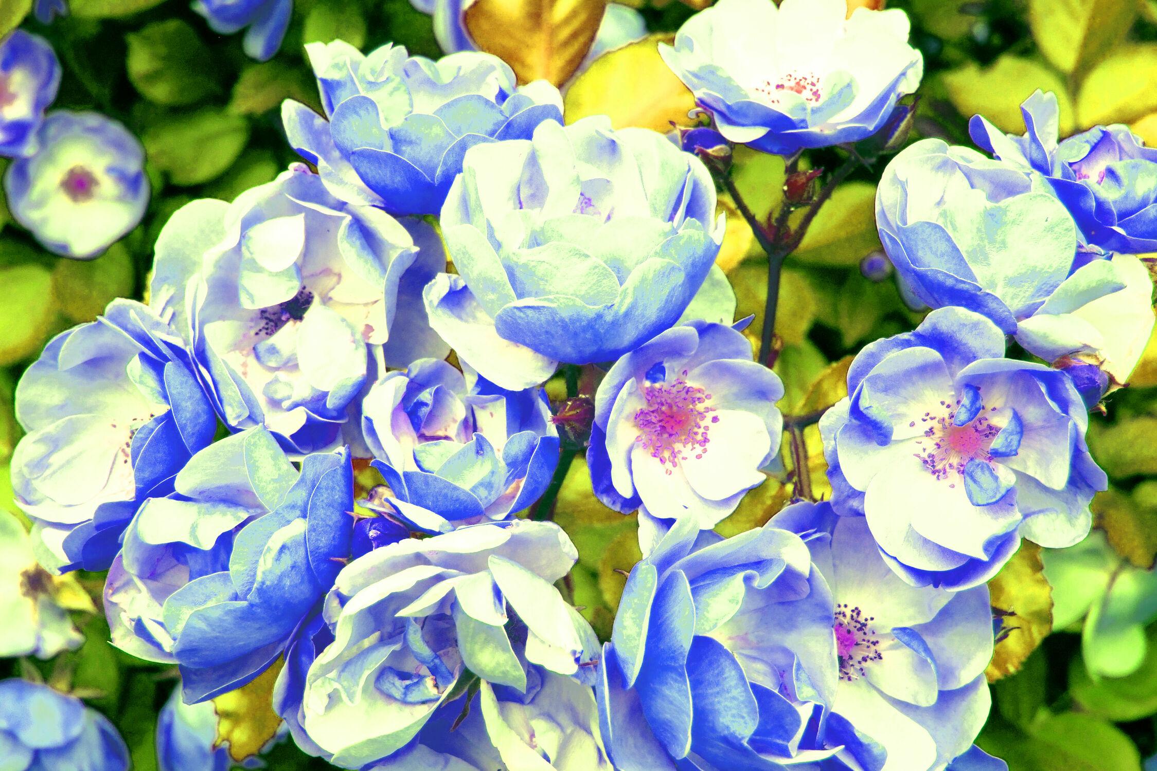 Bild mit Natur, Pflanzen, Rosen, wildrosen