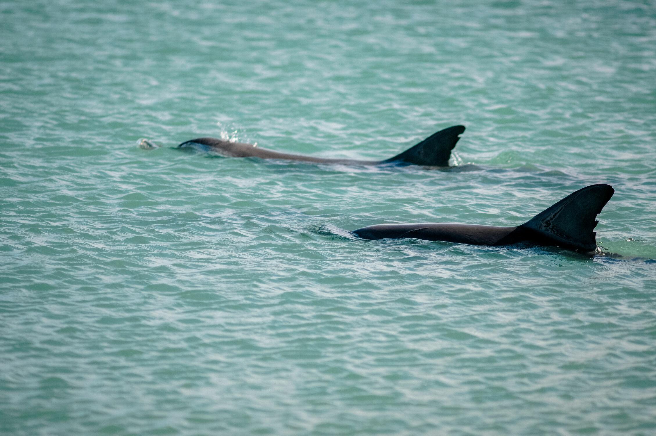 Bild mit Tiere, Meer, Delfine