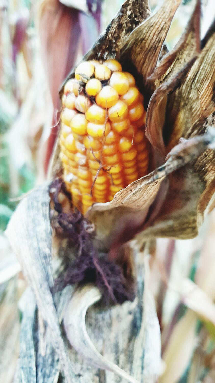 Bild mit Mais, Maiskolben, Erntezeit, Maisfeld, maispflanzen