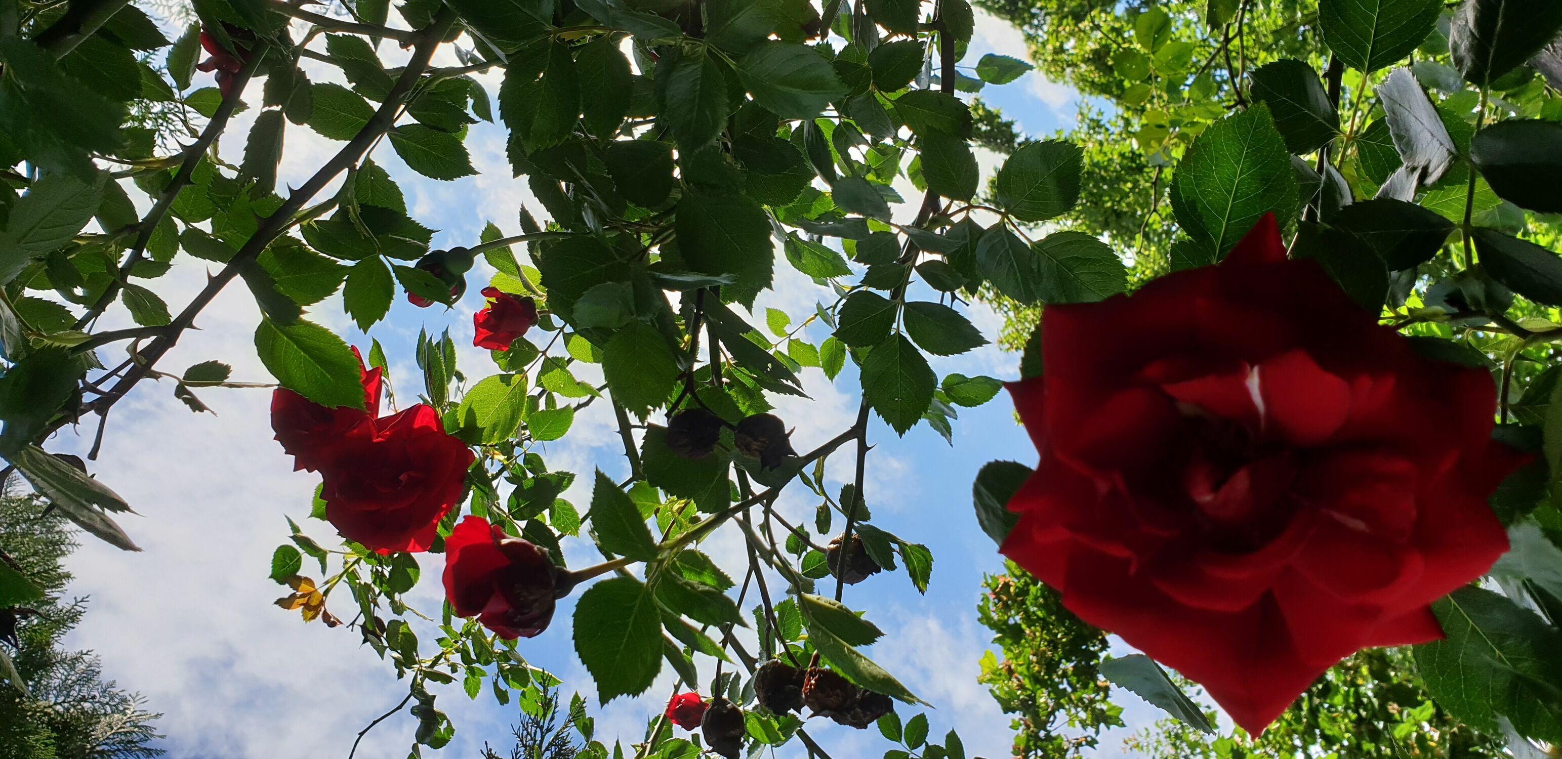 Bild mit Himmel, Rosen, Himmel Panorama, Rosenblüte, Rosengewächse, Blauer Himmel, rote Rosen