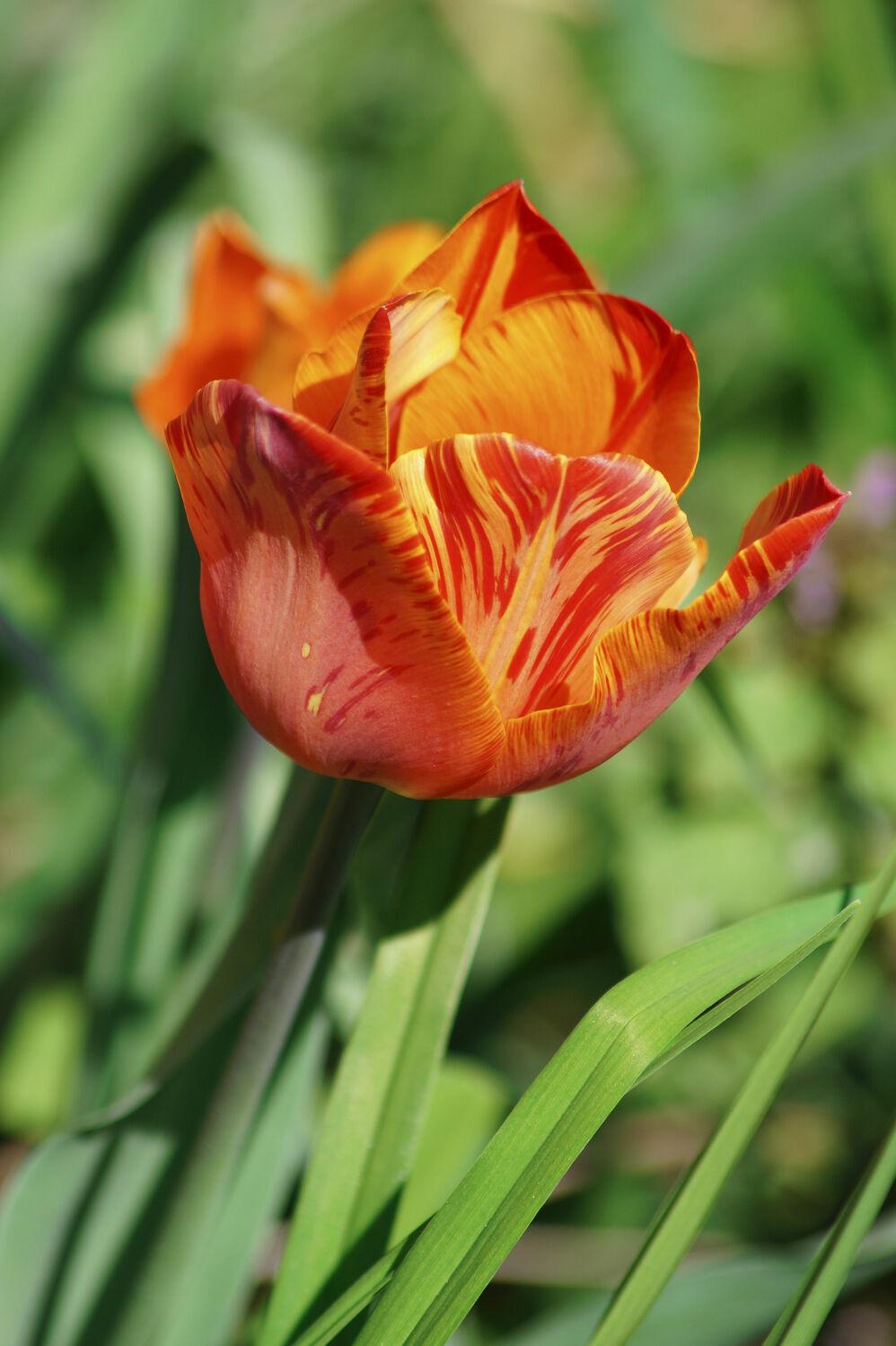 Bild mit Natur, Natur, Rot, Blume, Pflanze, Tulpe, Gras, Muster, garten, blüte
