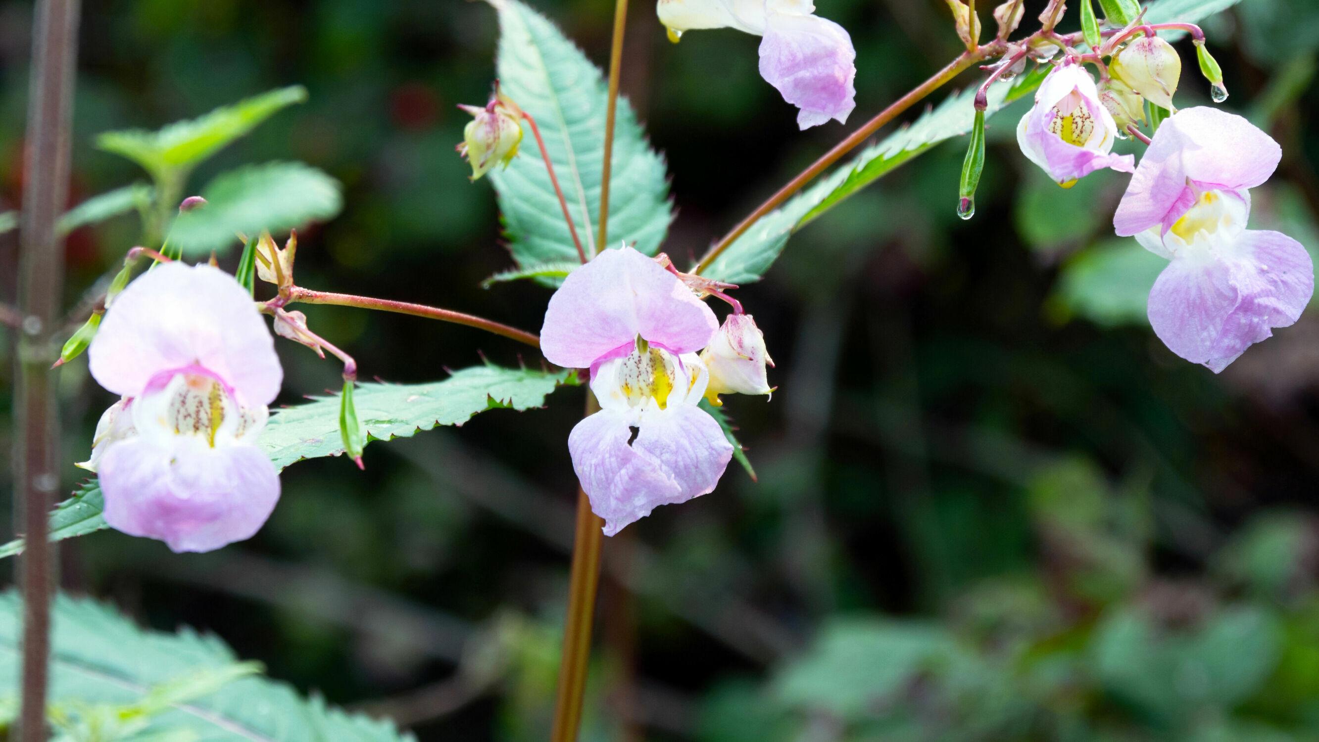 Bild mit Orchideen, Wald, Blick in den Wald, Makrofotografie, Blühend, schön, grüne Blätter