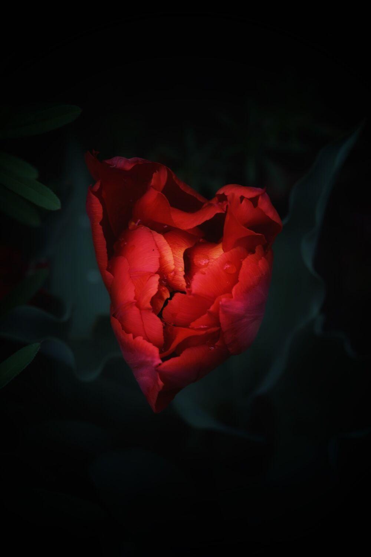 Bild mit Pflanzen, Blumen, Frühling, Makrofotografie, rote Rose, Flower, Flowers, Herz, Blumenfotografie, Marko