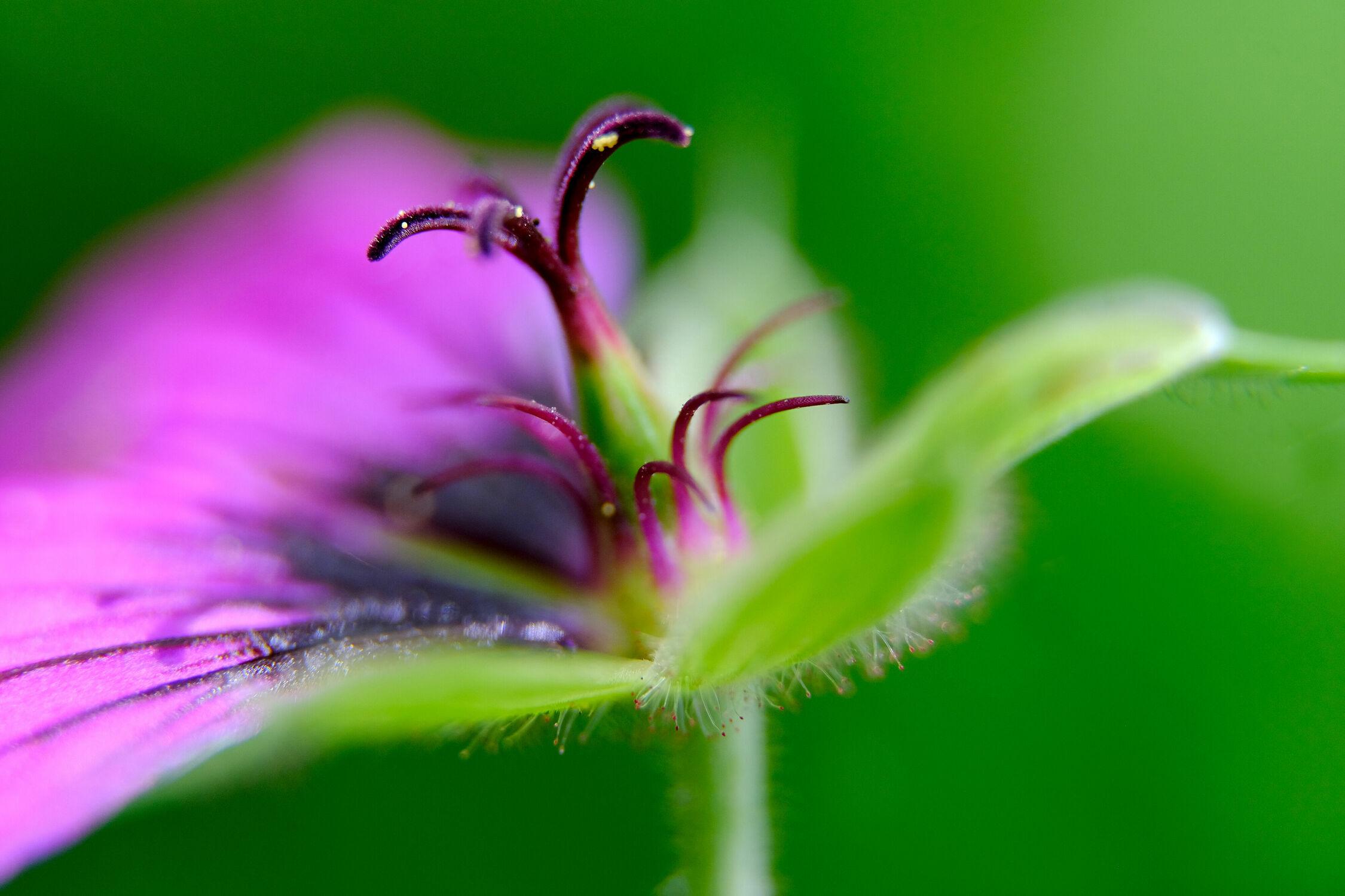 Bild mit Natur, Grün, Rosa, Lila, Blume, Makro, Florale Schönheiten, detail, pink