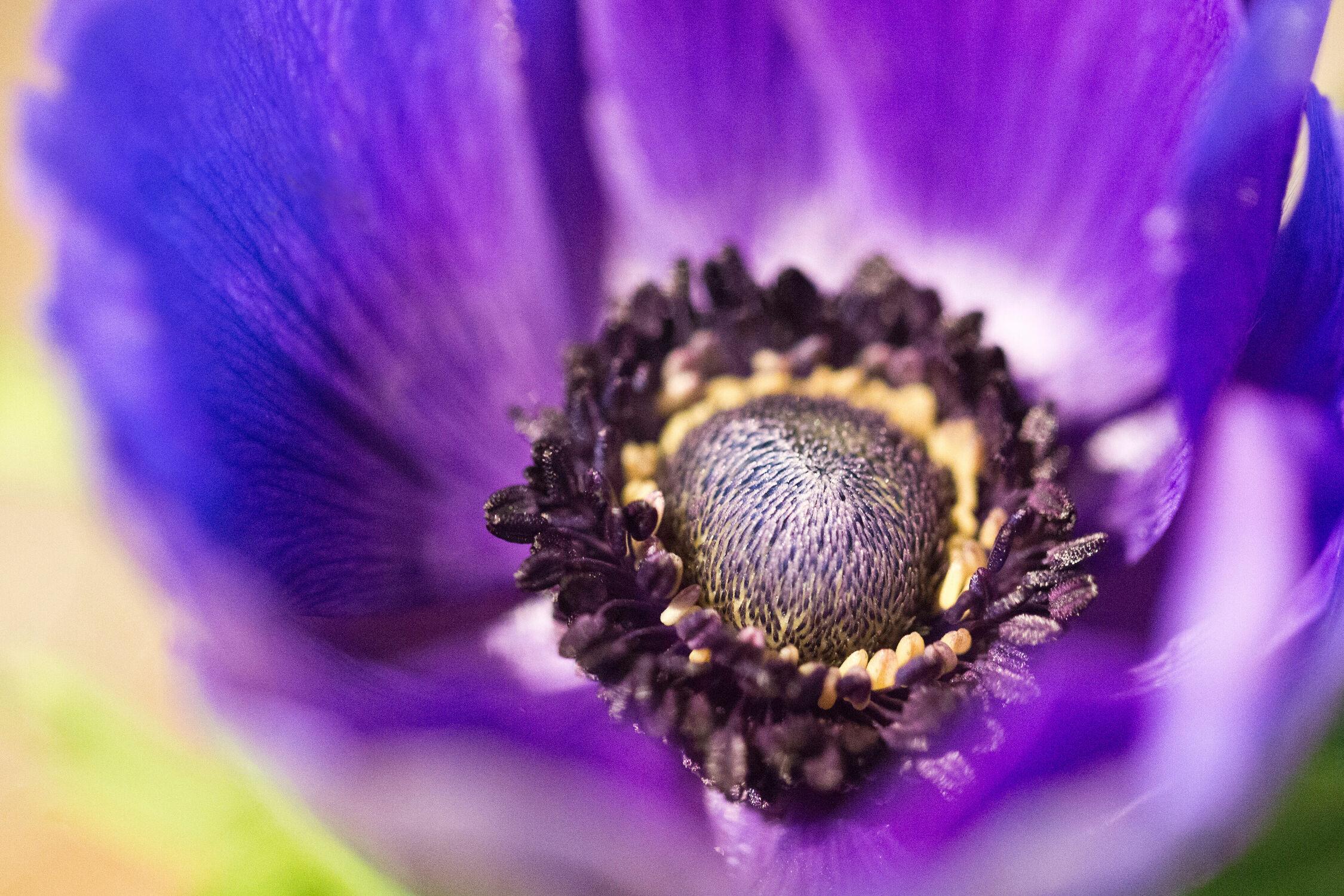 Bild mit Natur, Lila, Blume, Makro, Verborgen