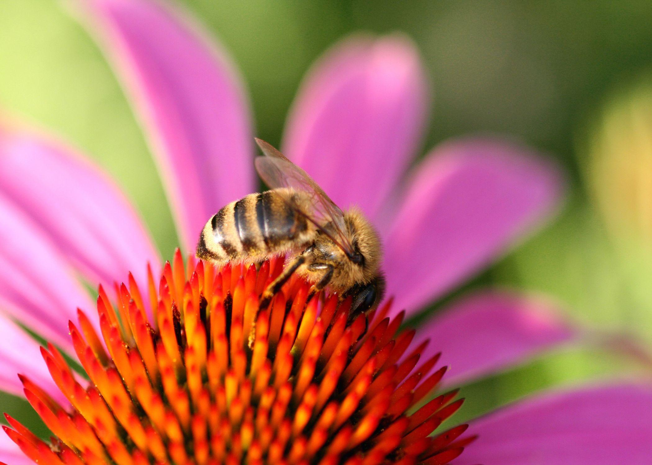 Bild mit Farben, Tiere, Natur, Pflanzen, Blumen, Rosa, Korbblütler, Insekten, Hautflügler, Bienen, Hummeln, Sonnenhüte, Biene