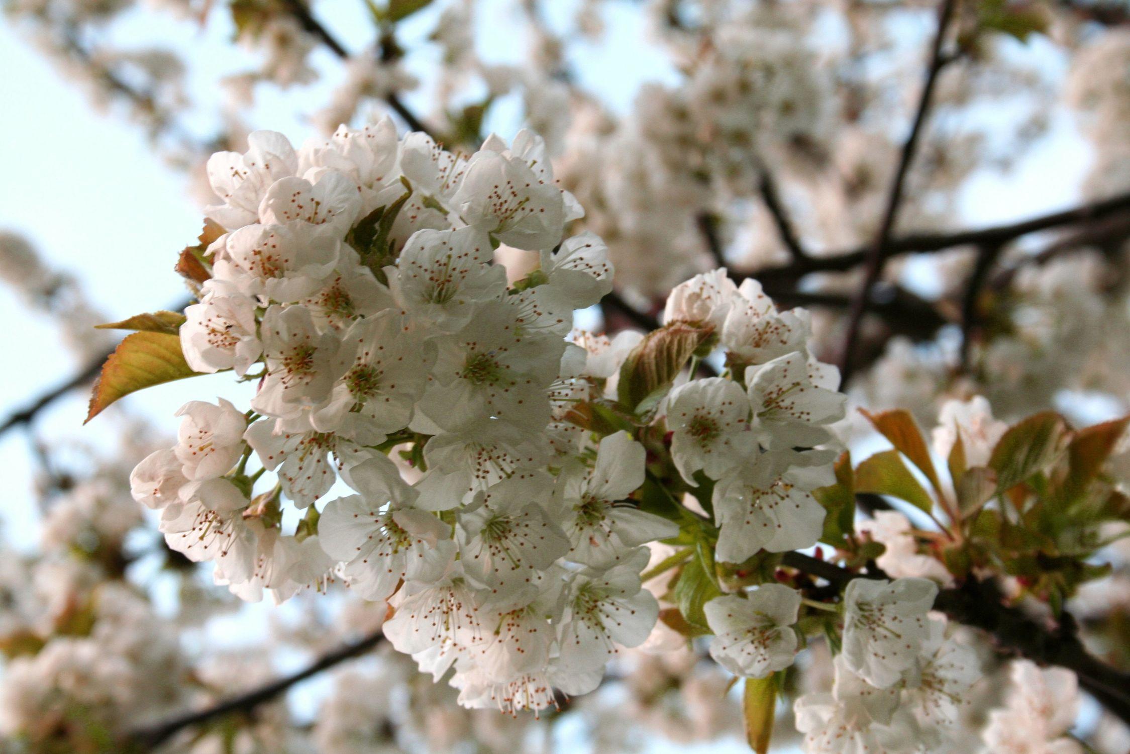 Bild mit Natur, Pflanzen, Bäume, Jahreszeiten, Blumen, Frühling, Obstbäume, Kirschbäume, Baum, Obstbaum, Pflanze, Kirschbaum, Kirsche