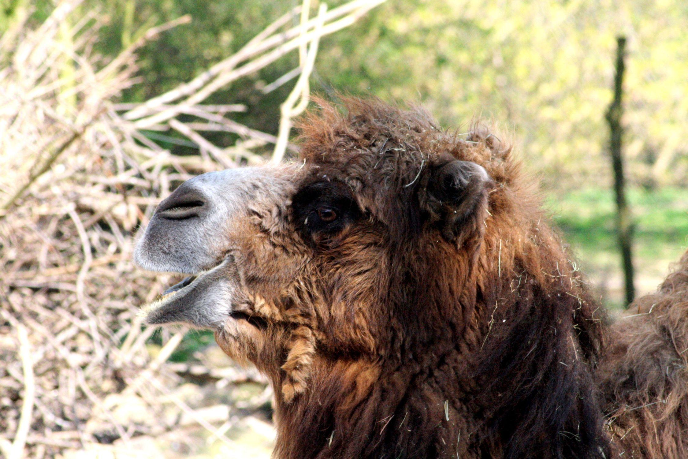 Bild mit Tiere, Säugetiere, Paarhufer, Kamele, Kamele, Alpakas, Lamas, Tier, Säugetier, Lama, Kamel