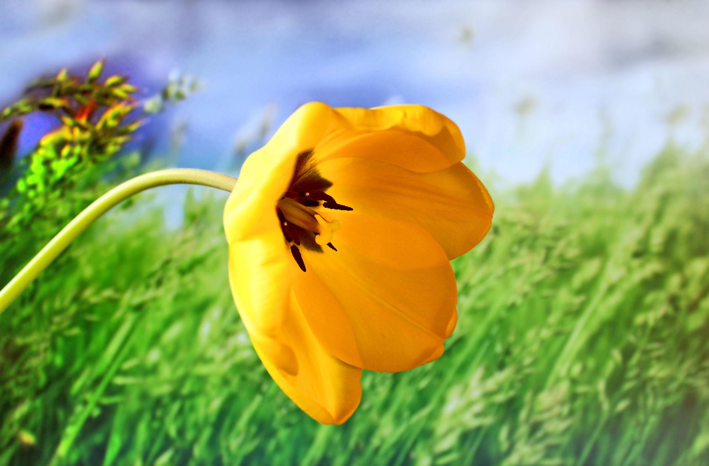 Bild mit Gelb, Grün, Himmel, Blumen, Blume, Tulpe, Tulips, Tulpen, Tulipa, Gras, Flower, Flowers, Tulip, gelbe Tuple für Gras Hintergrund
