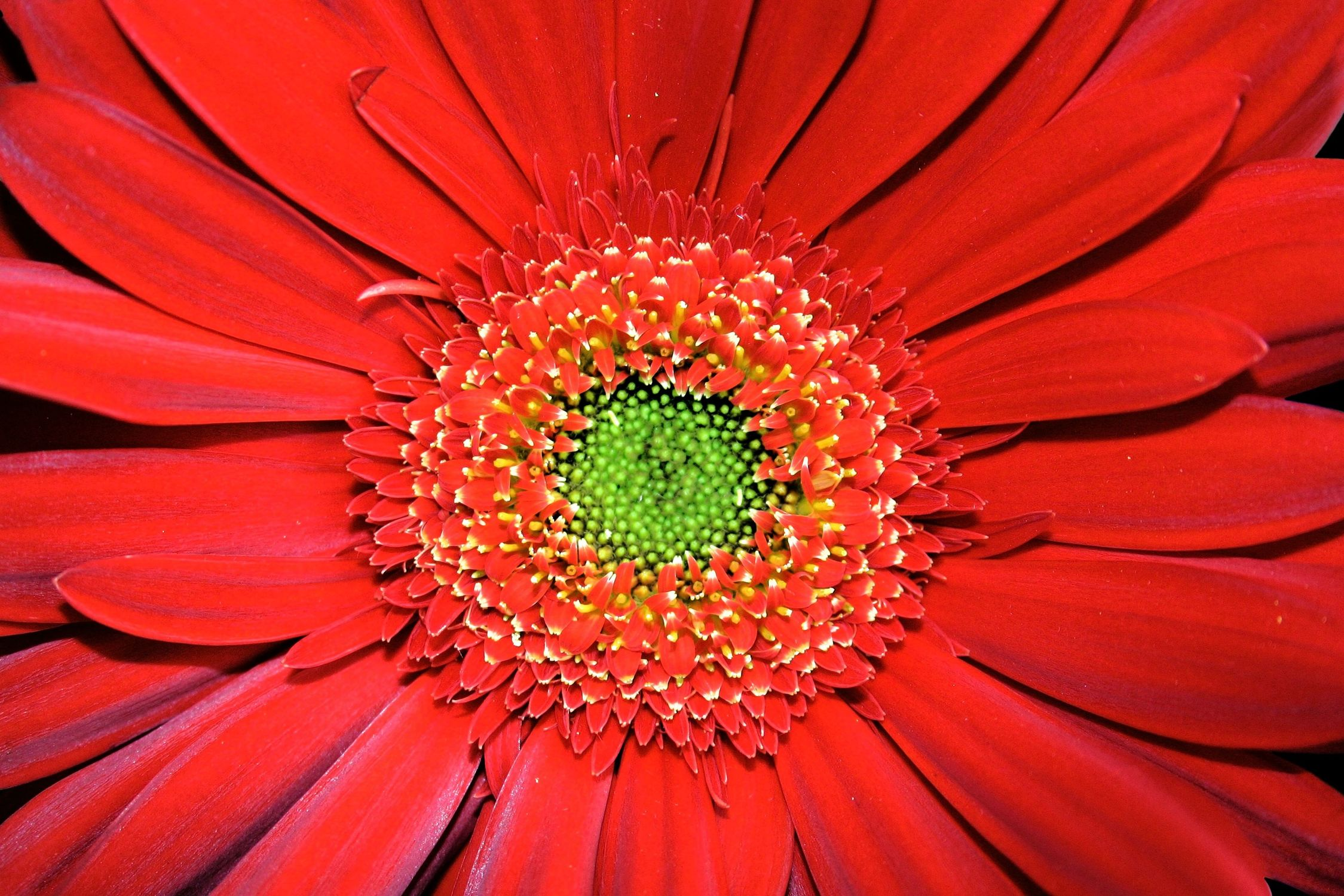 Bild mit Natur, Pflanzen, Blumen, Korbblütler, Gerberas, Blume, Pflanze