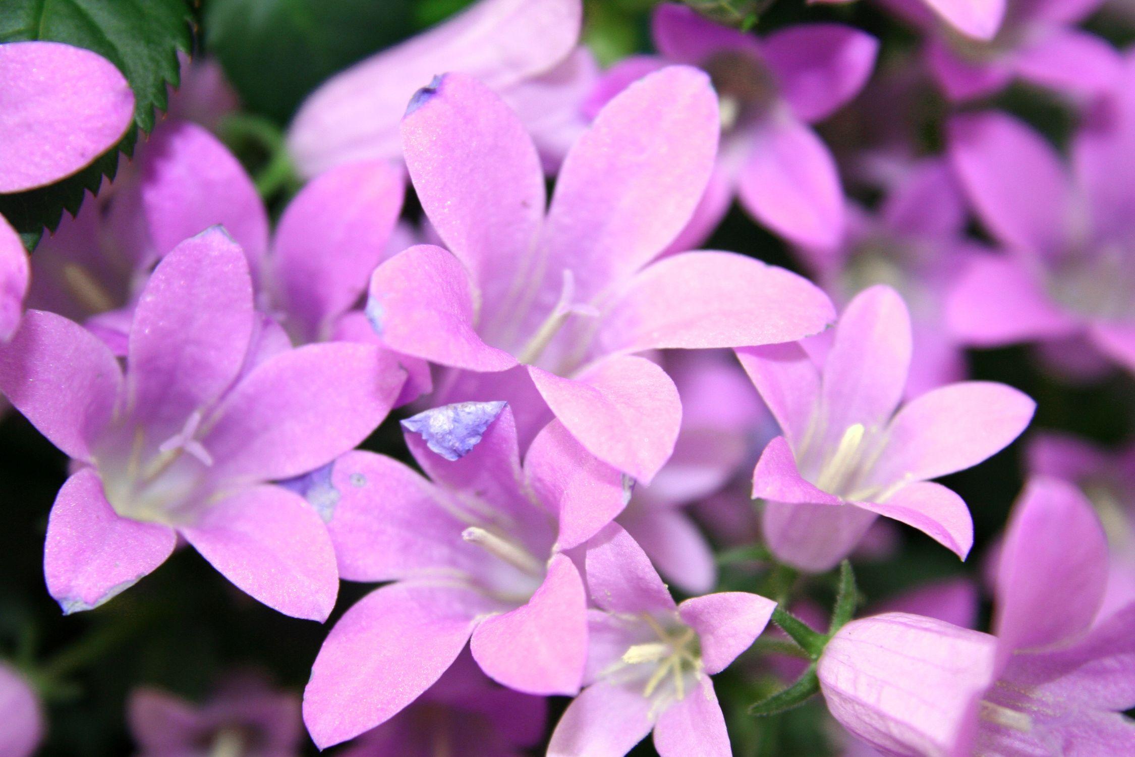 Bild mit Farben, Natur, Pflanzen, Blumen, Rosa, Lila, Violett, Glockenblumen, Magenta, männertreu