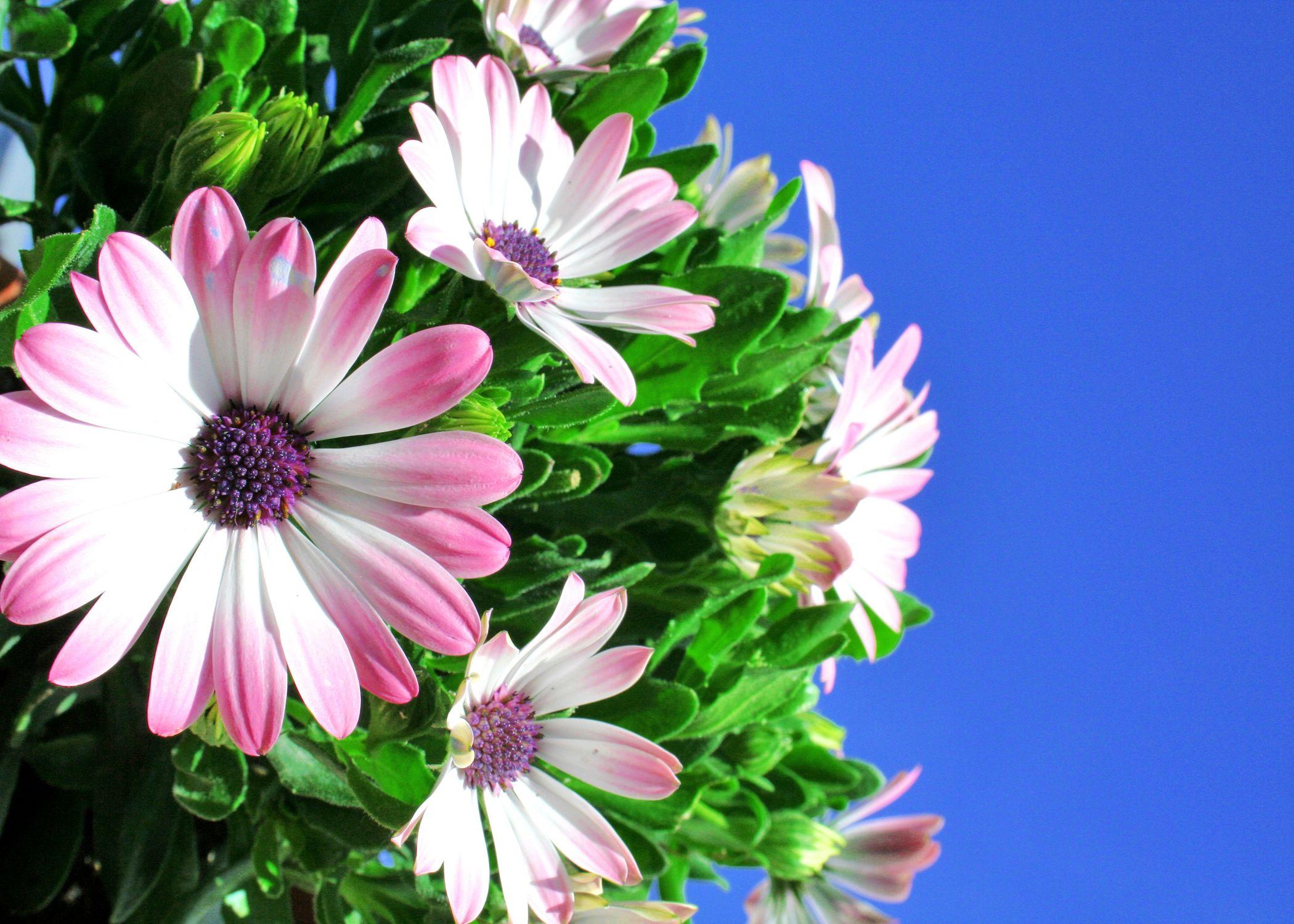 Bild mit Farben, Natur, Pflanzen, Himmel, Jahreszeiten, Blumen, Rosa, Lila, Frühling, Korbblütler