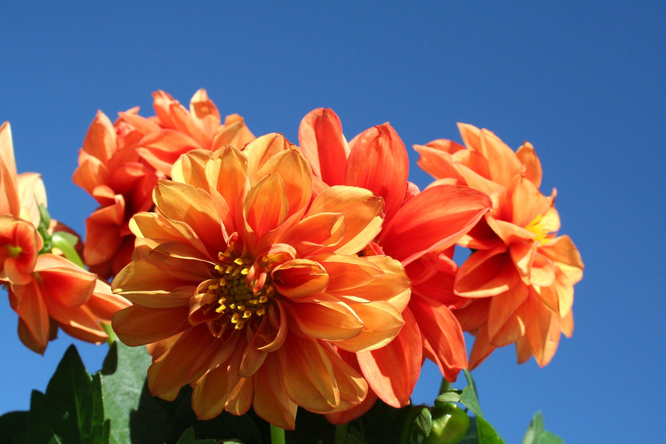 Bild mit Natur, Pflanzen, Himmel, Früchte, Blumen, Pfirsiche, Korbblütler, Dahlien, Blume, Pflanze
