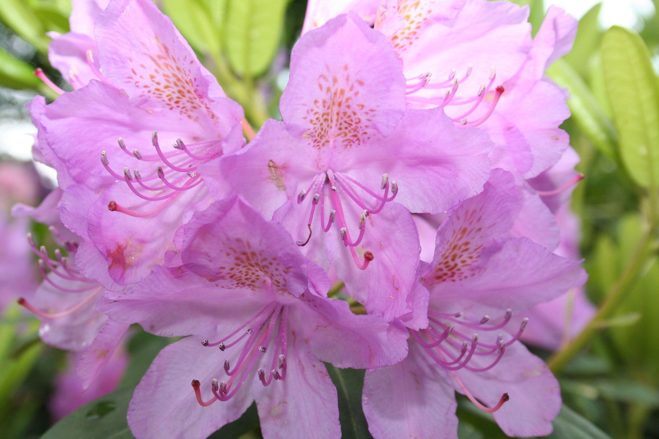 Bild mit Farben, Natur, Pflanzen, Bäume, Blumen, Rosa, Rhododendren, Azaleen