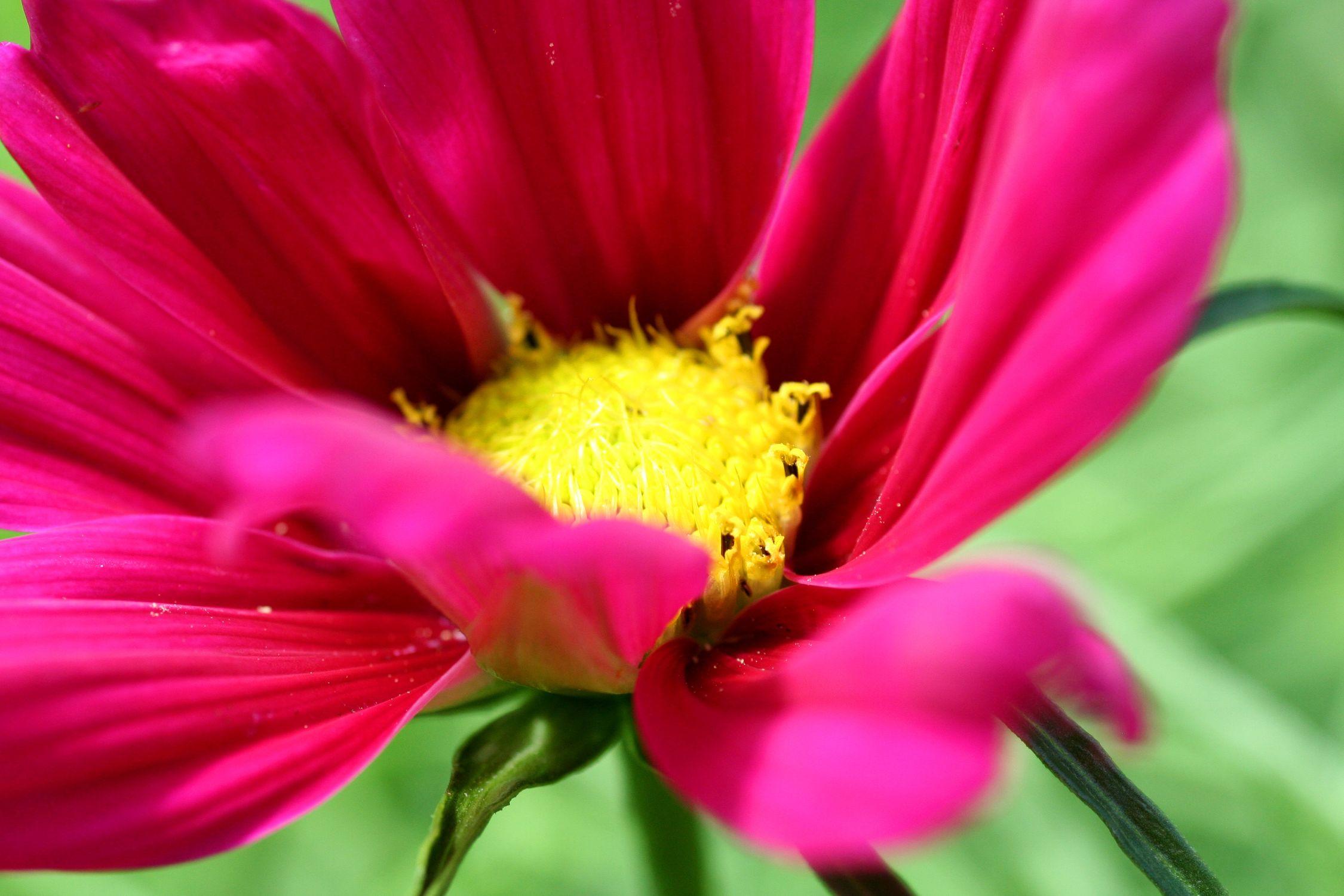 Bild mit Farben, Natur, Pflanzen, Blumen, Rosa, Blume, Pflanze, Flower