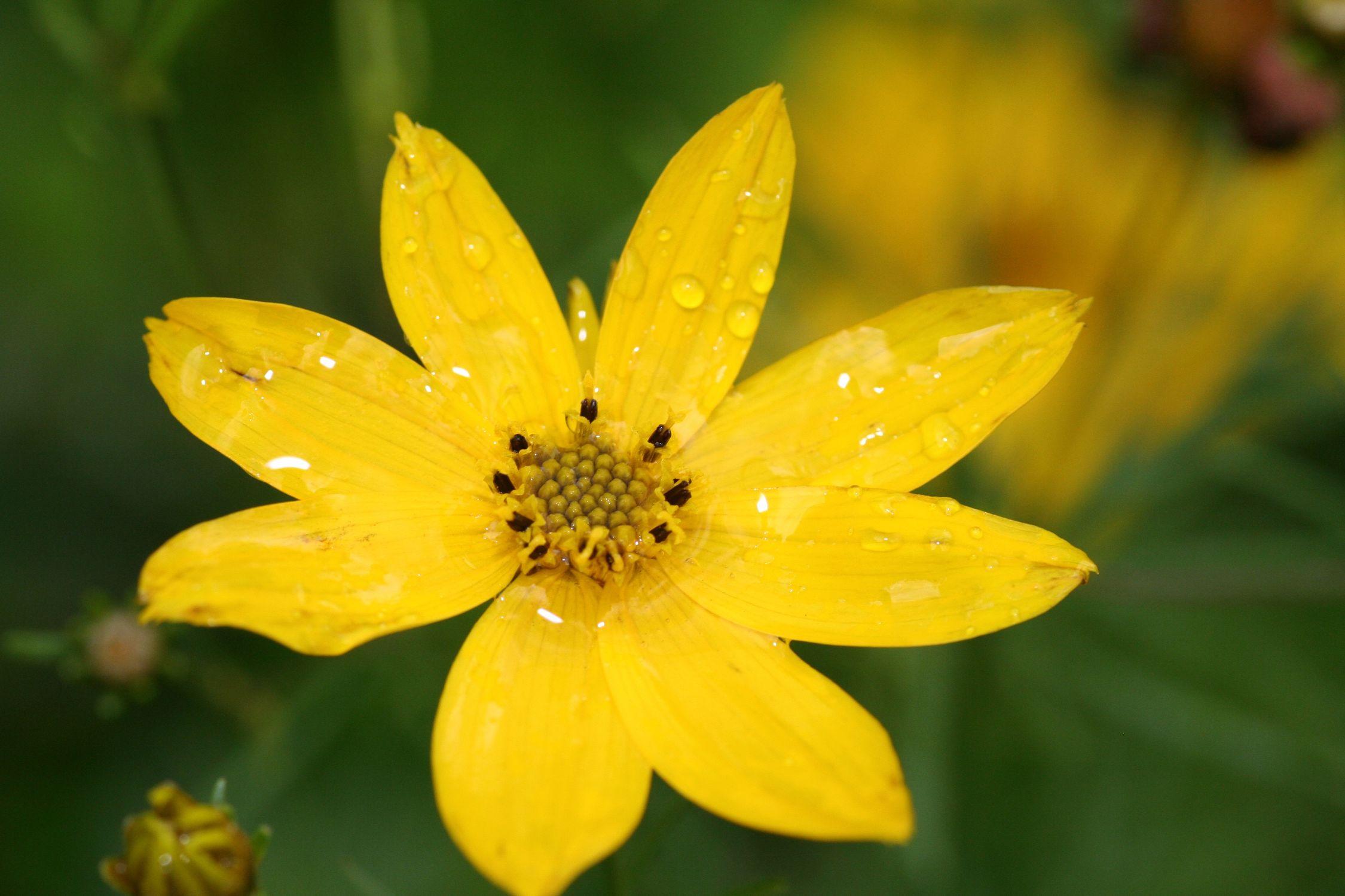 Bild mit Farben, Gelb, Natur, Pflanzen, Blumen, Makrofotografie, Blume, Pflanze