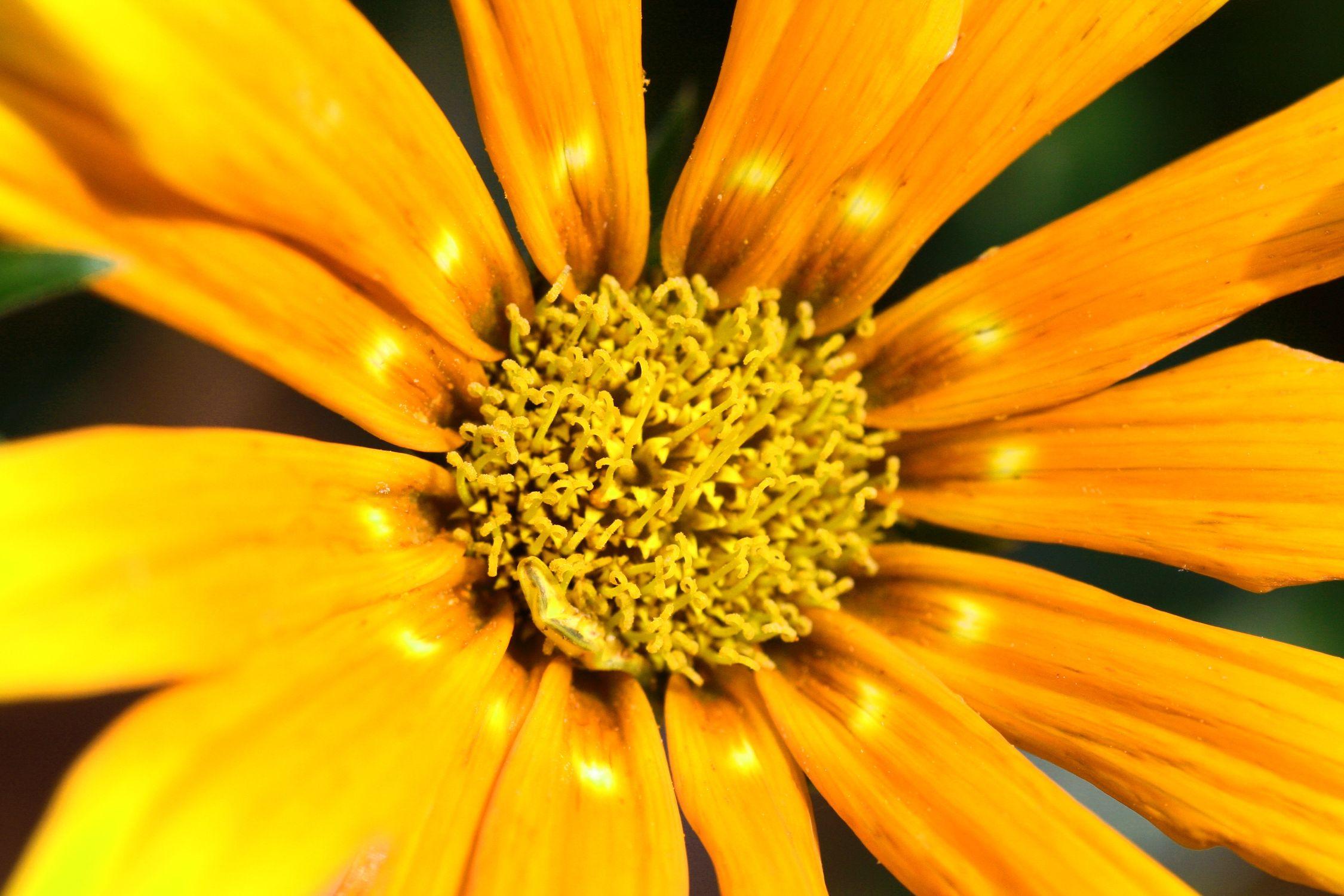 Bild mit Farben, Orange, Gelb, Natur, Pflanzen, Blumen, Korbblütler, Sonnenblumen