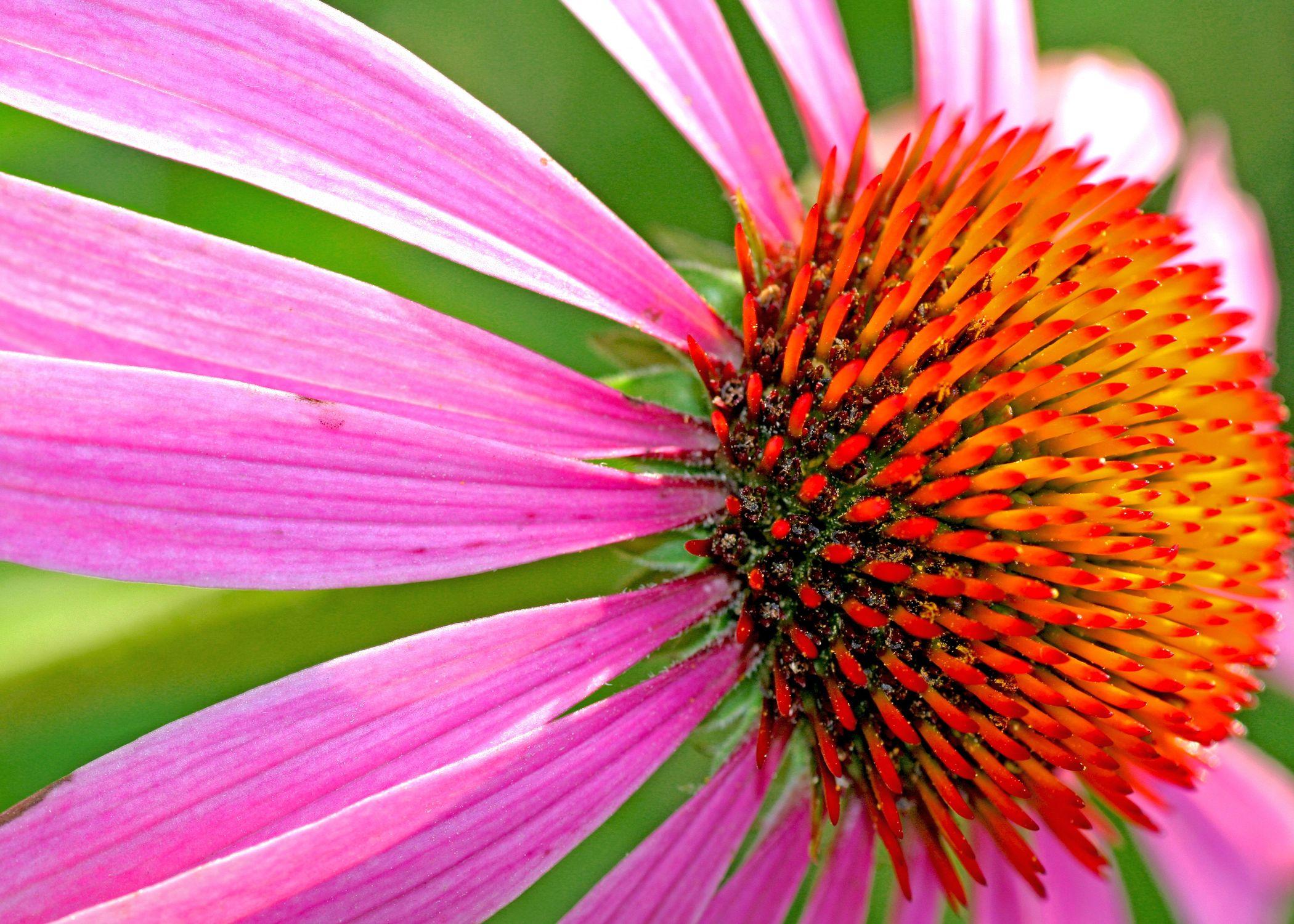 Bild mit Farben, Natur, Pflanzen, Blumen, Rosa, Korbblütler