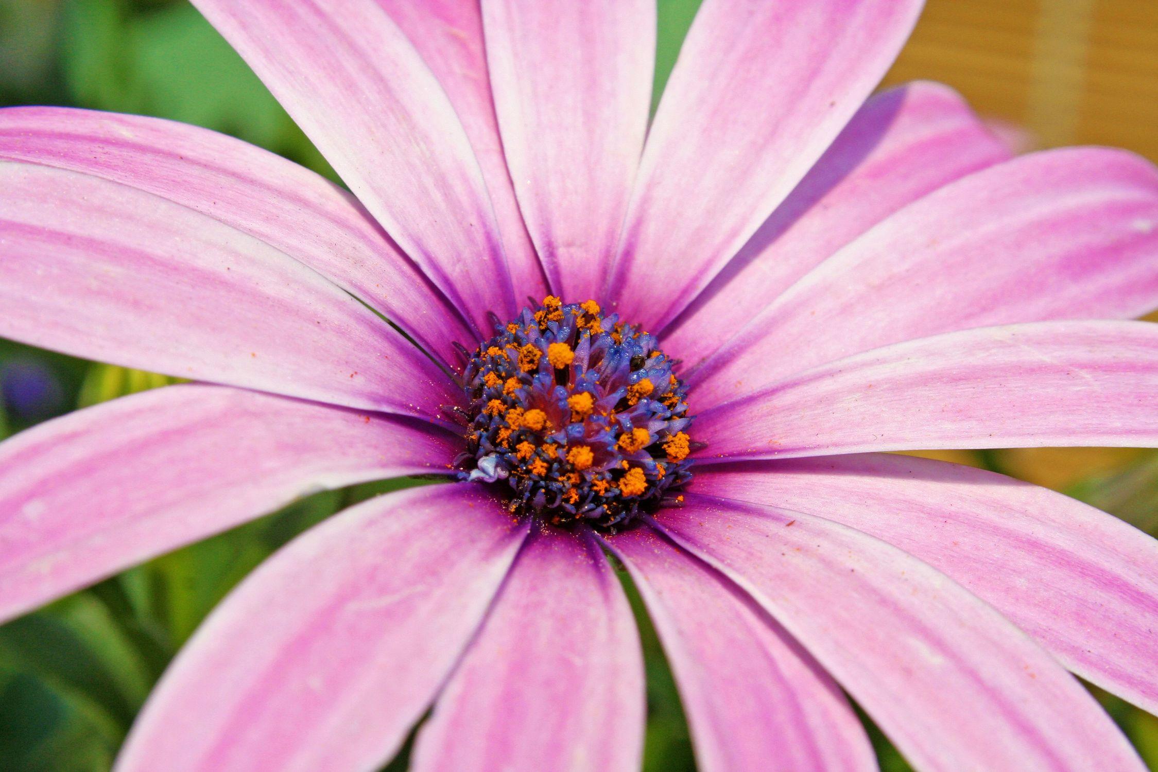 Bild mit Farben, Natur, Pflanzen, Jahreszeiten, Blumen, Rosa, Lila, Frühling, Korbblütler, Gerberas