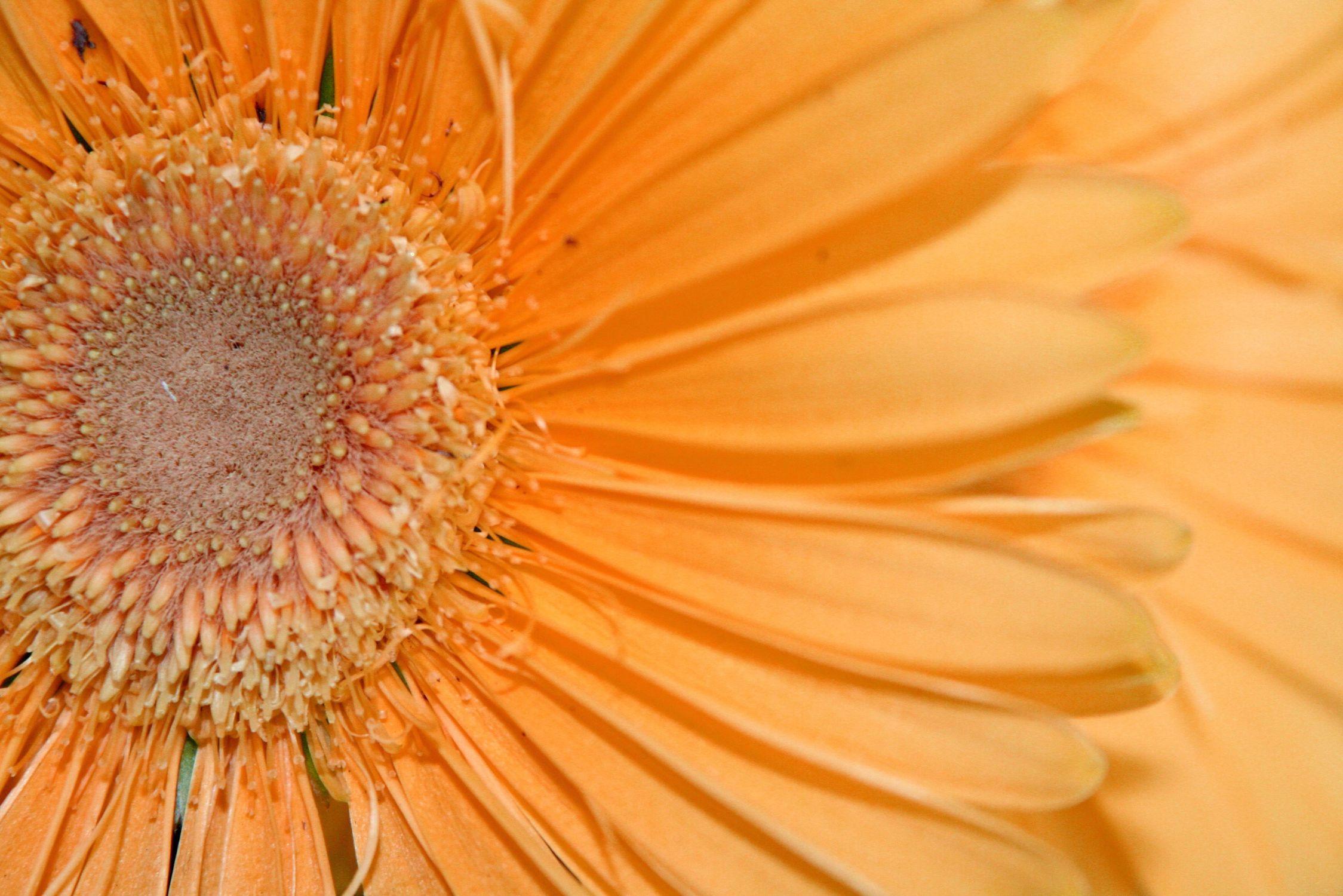 Bild mit Farben, Orange, Gelb, Natur, Pflanzen, Blumen, Korbblütler, Gerberas, Blume, Pflanze, Gerbera, Margeriten, Margerite