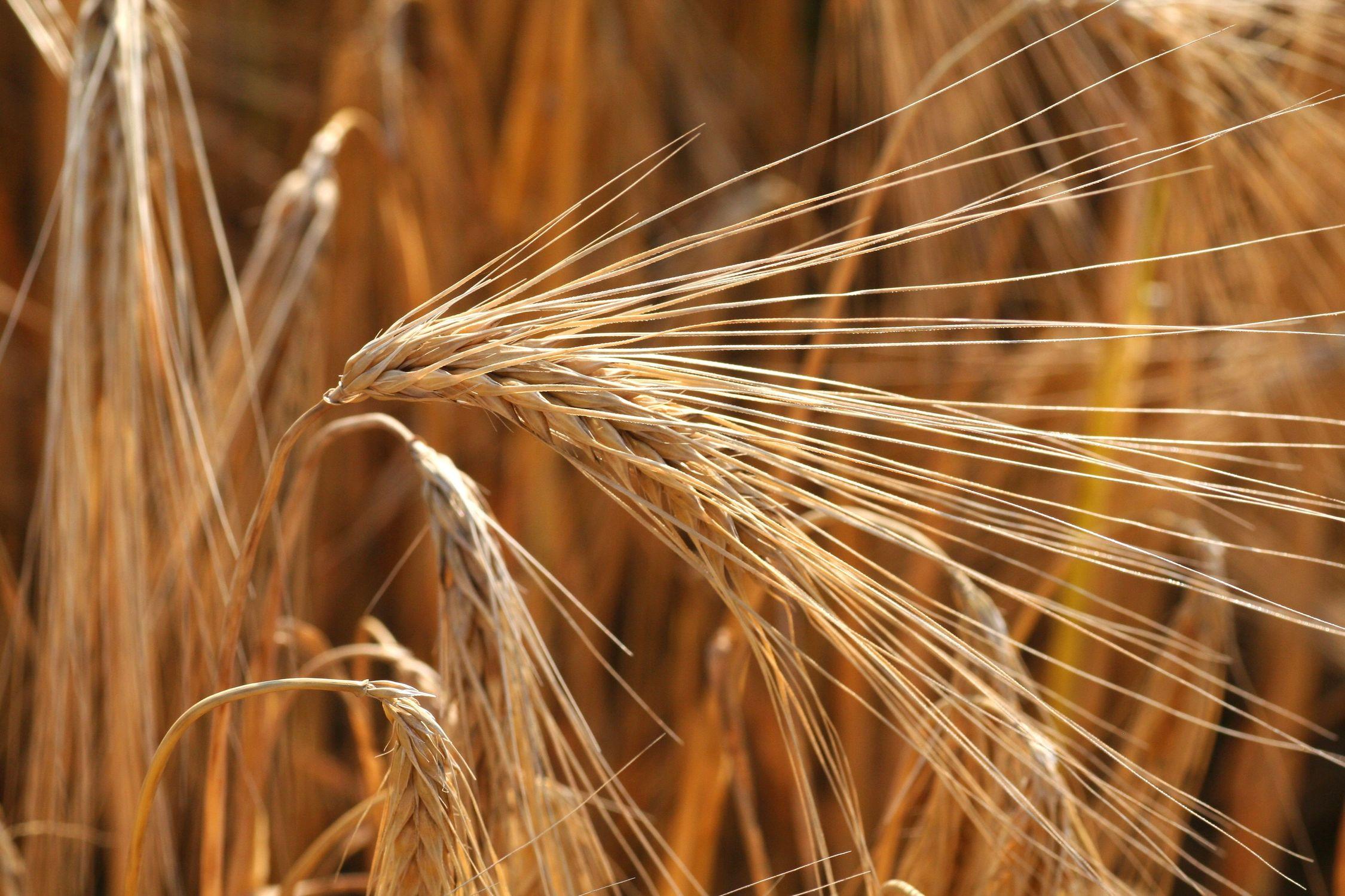 Bild mit Natur, Gräser, Getreide, Feld, Felder, landwirtschaft, Weizen