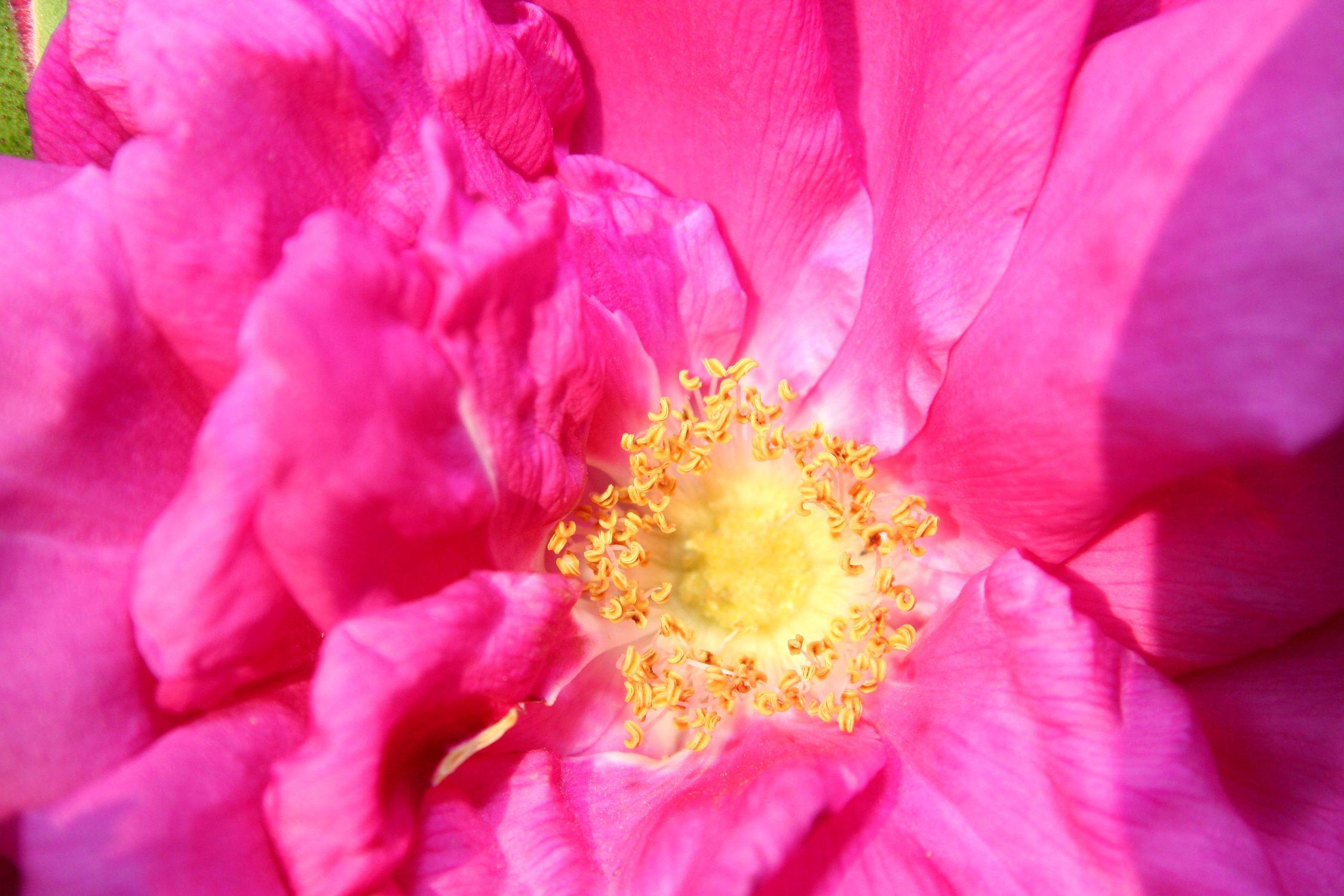 Bild mit Farben, Gelb, Natur, Pflanzen, Blumen, Rosa, Rosen, Magenta, Kamelien