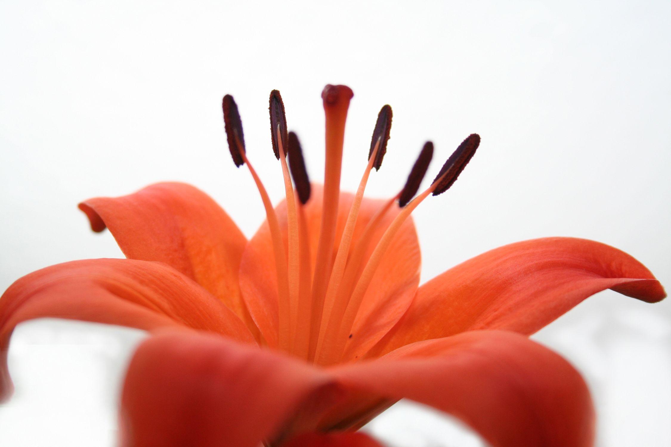 Bild mit Farben, Orange, Natur, Pflanzen, Blumen, Rot, Blume, Pflanze, Lilie
