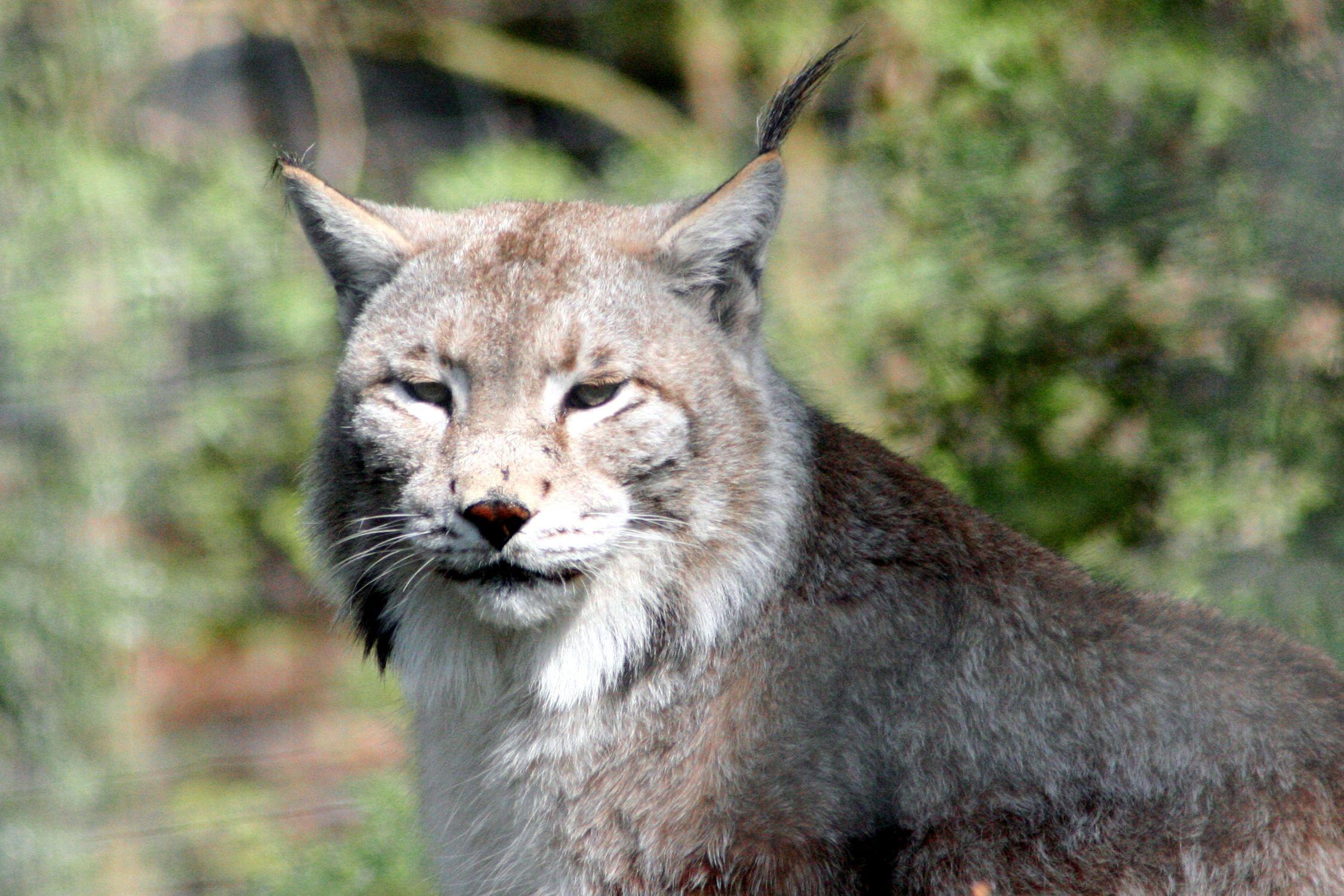 Bild mit Tiere, Säugetiere, Haustiere, Raubtiere, Katzenartige, Luchse, Katzen