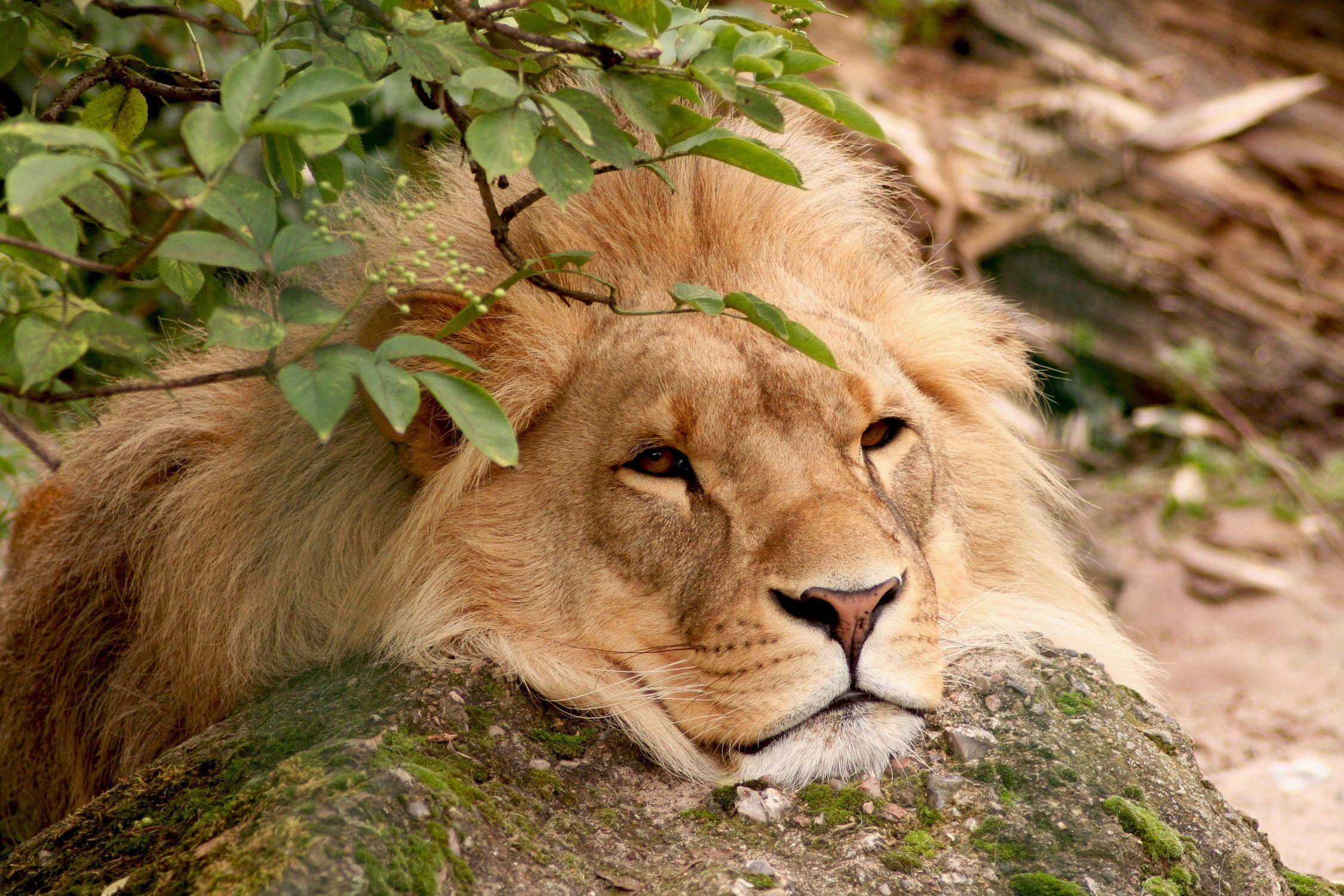 Bild mit Tiere, Säugetiere, Raubtiere, Katzenartige, Löwen, Löwe, Lion, Löwenmähne, männlicher Löwe, große Katze, Raubtier, Raubkatze, Männchen, Großkatzen