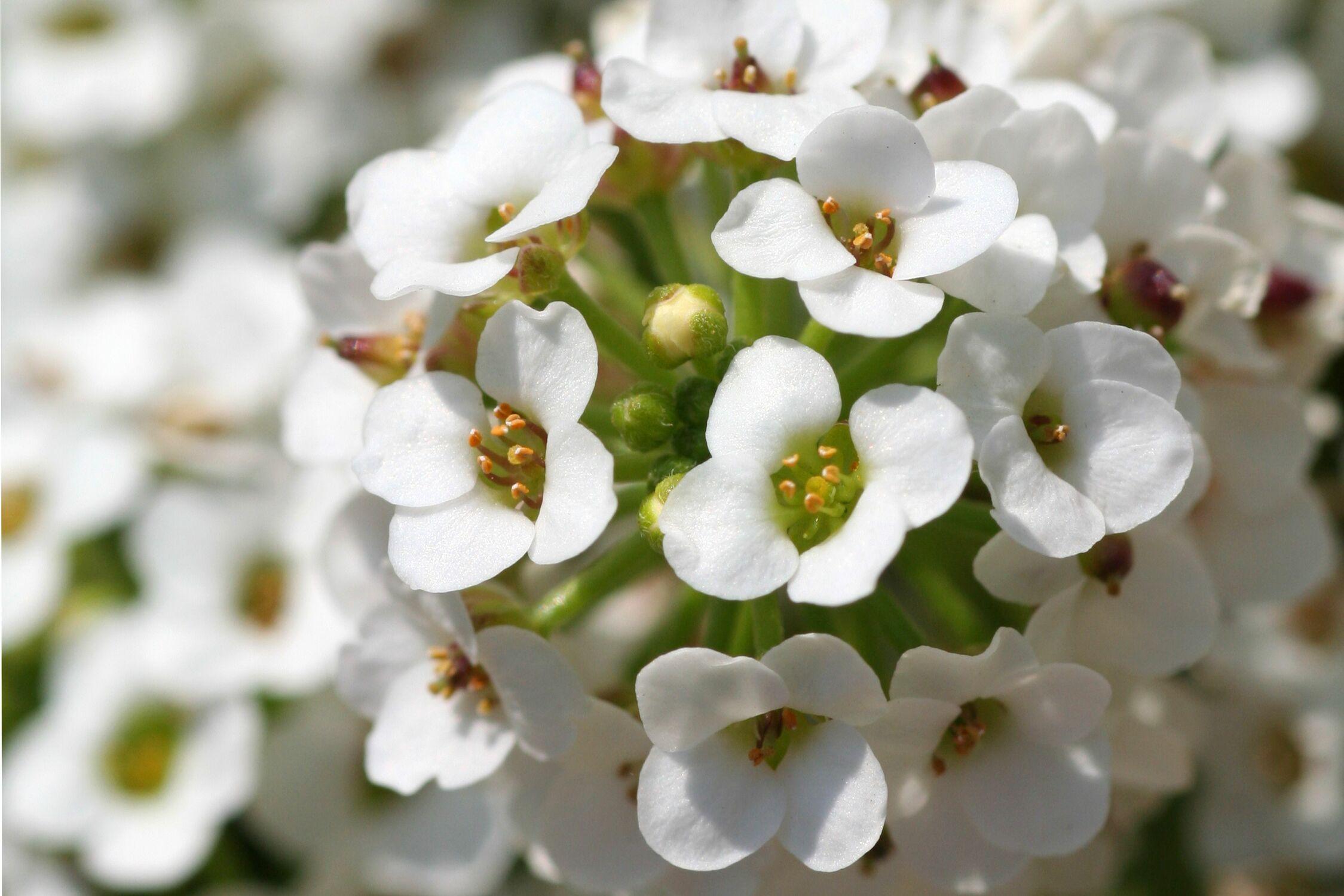 Bild mit Farben, Natur, Pflanzen, Jahreszeiten, Blumen, Weiß, Frühling, Blume, Pflanze, männertreu