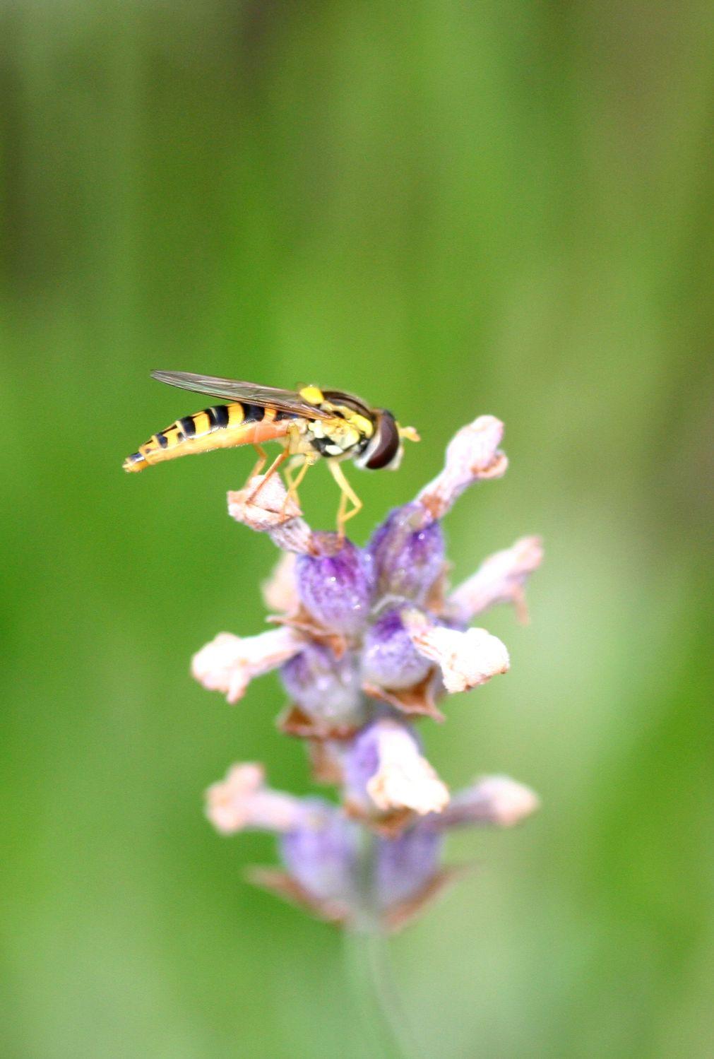 Bild mit Tiere, Natur, Pflanzen, Blumen, Insekten, Hautflügler, Bienen, Sträucher, Lavendel, Tier, Schwebfliege