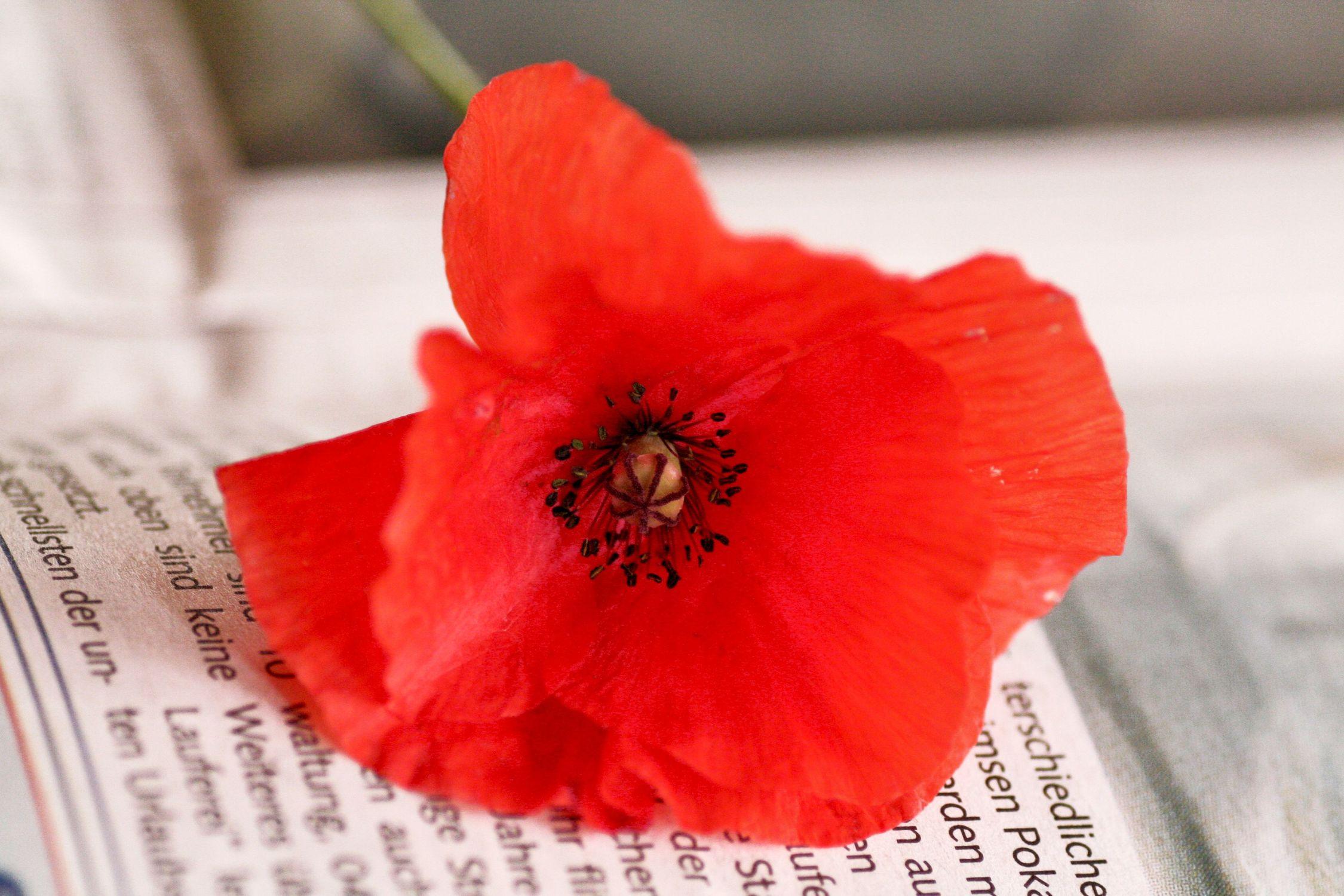 Bild mit Farben, Natur, Pflanzen, Blumen, Weiß, Rot, Mohn, Pflanze, Mohnblume, Mohneblumen, Poppy, Poppies, Mohnpflanze, Klatschmohn, Klatschrose, Papaver, Mohngewächse, Papaveraceae, Mohnblume auf einer Zeitung
